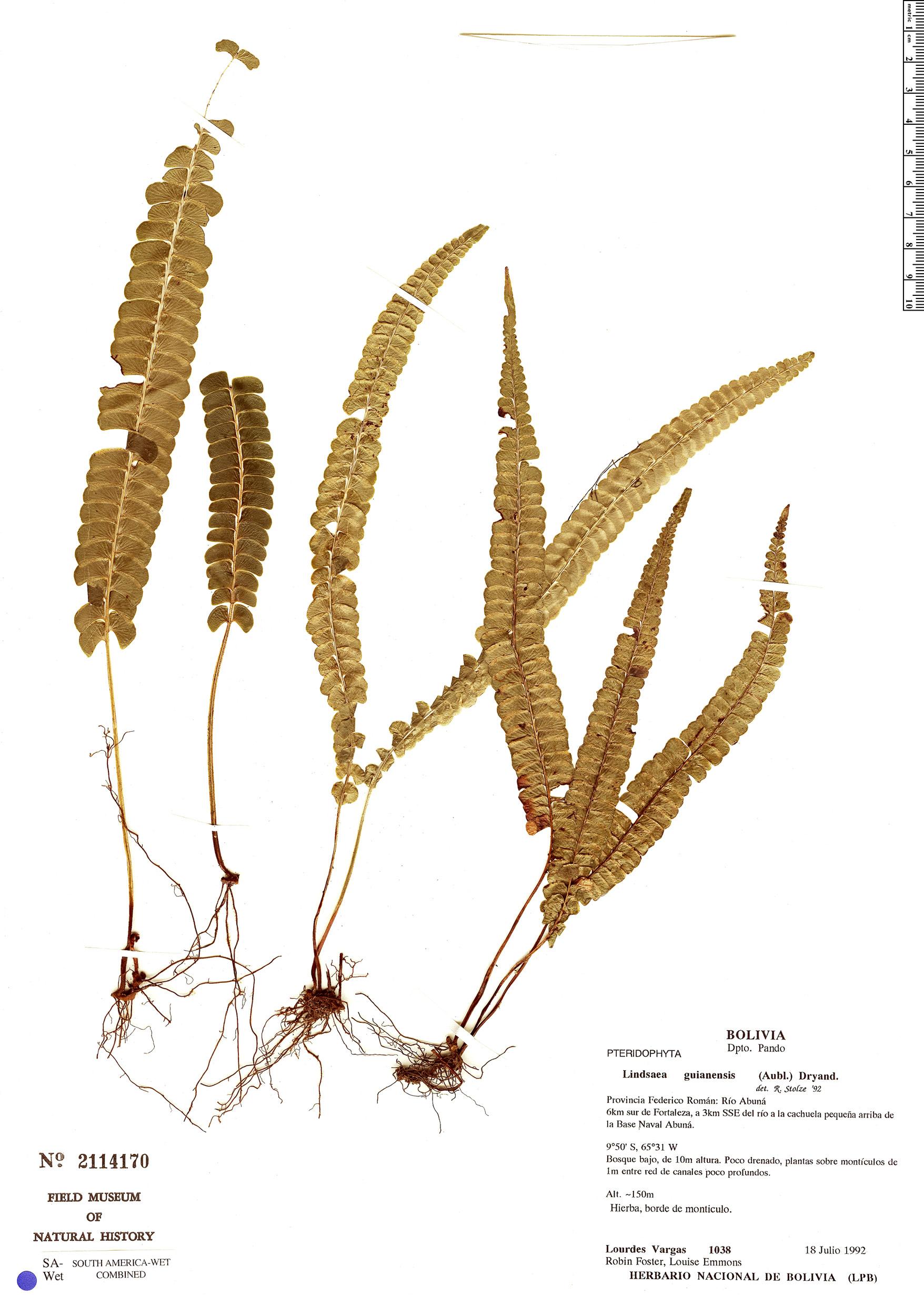 Specimen: Lindsaea guianensis