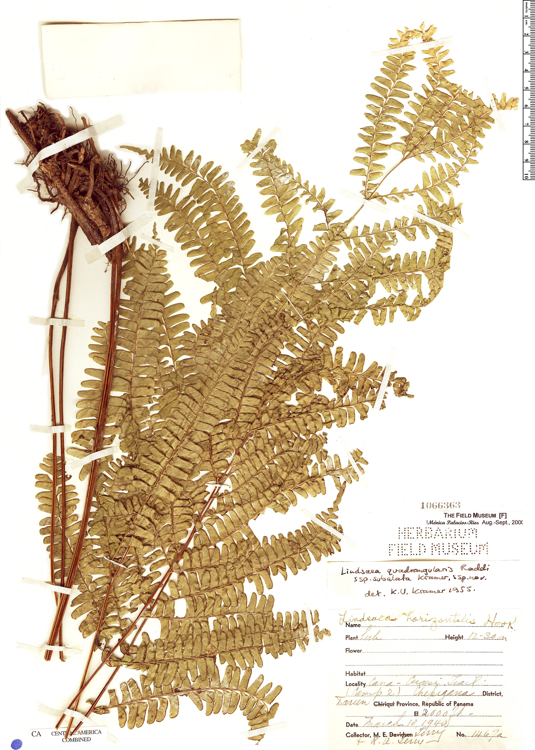 Specimen: Lindsaea quadrangularis