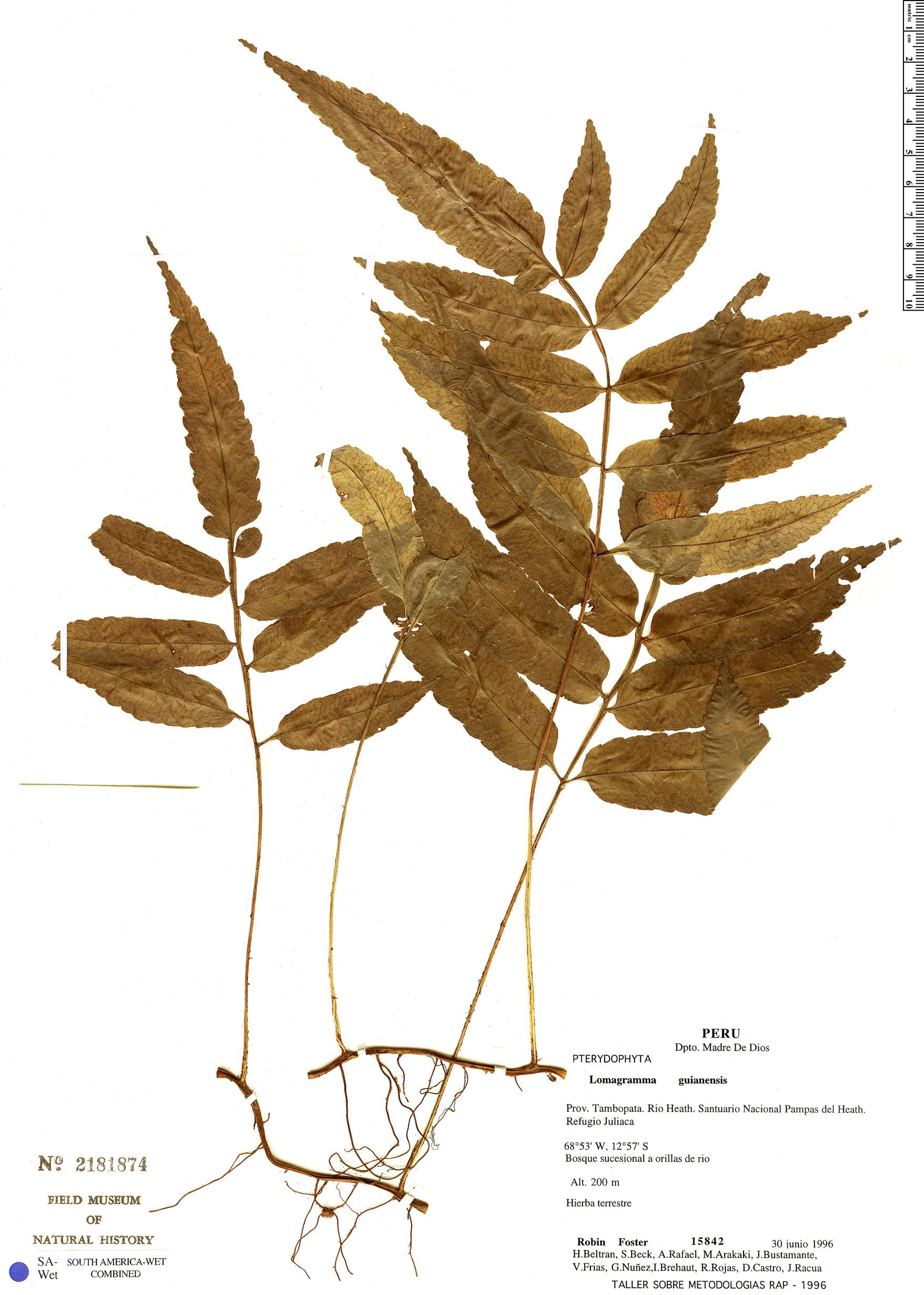 Espécime: Lomagramma guianensis