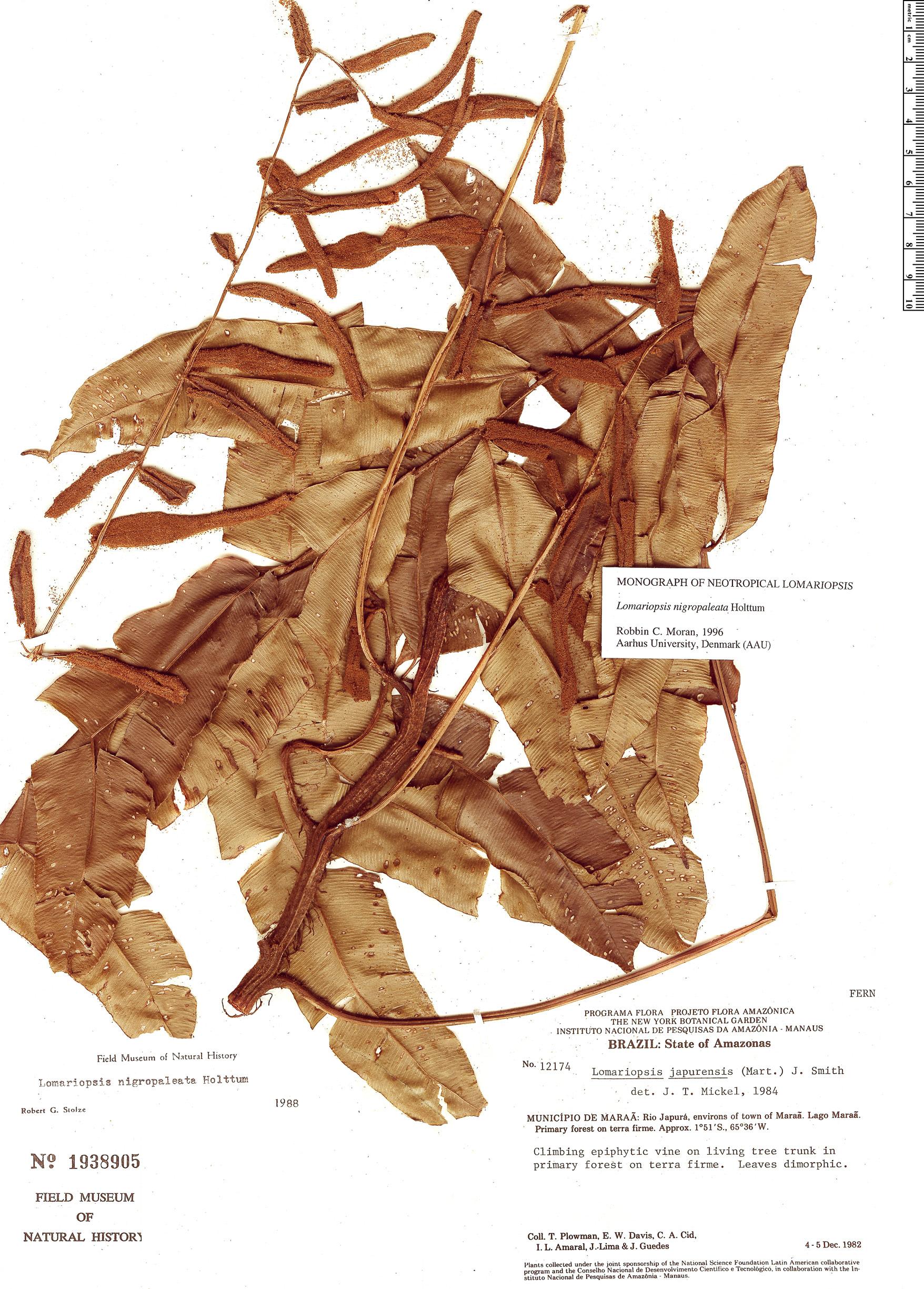 Specimen: Lomariopsis nigropaleata