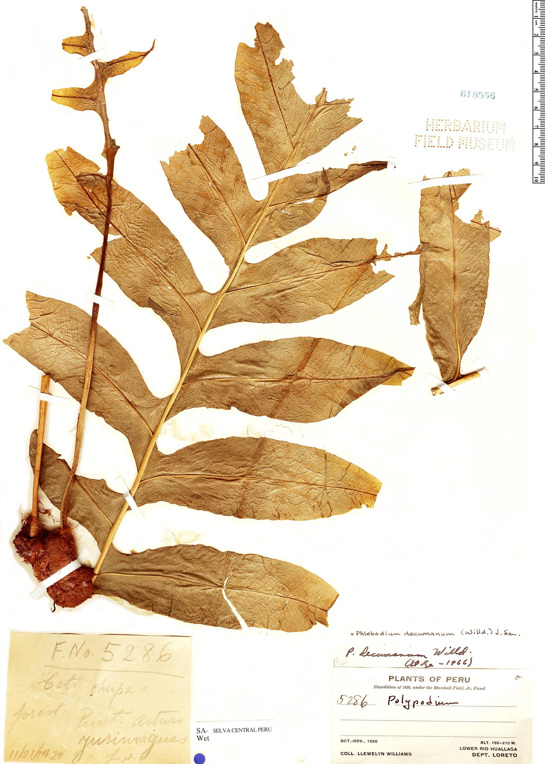Specimen: Phlebodium decumanum
