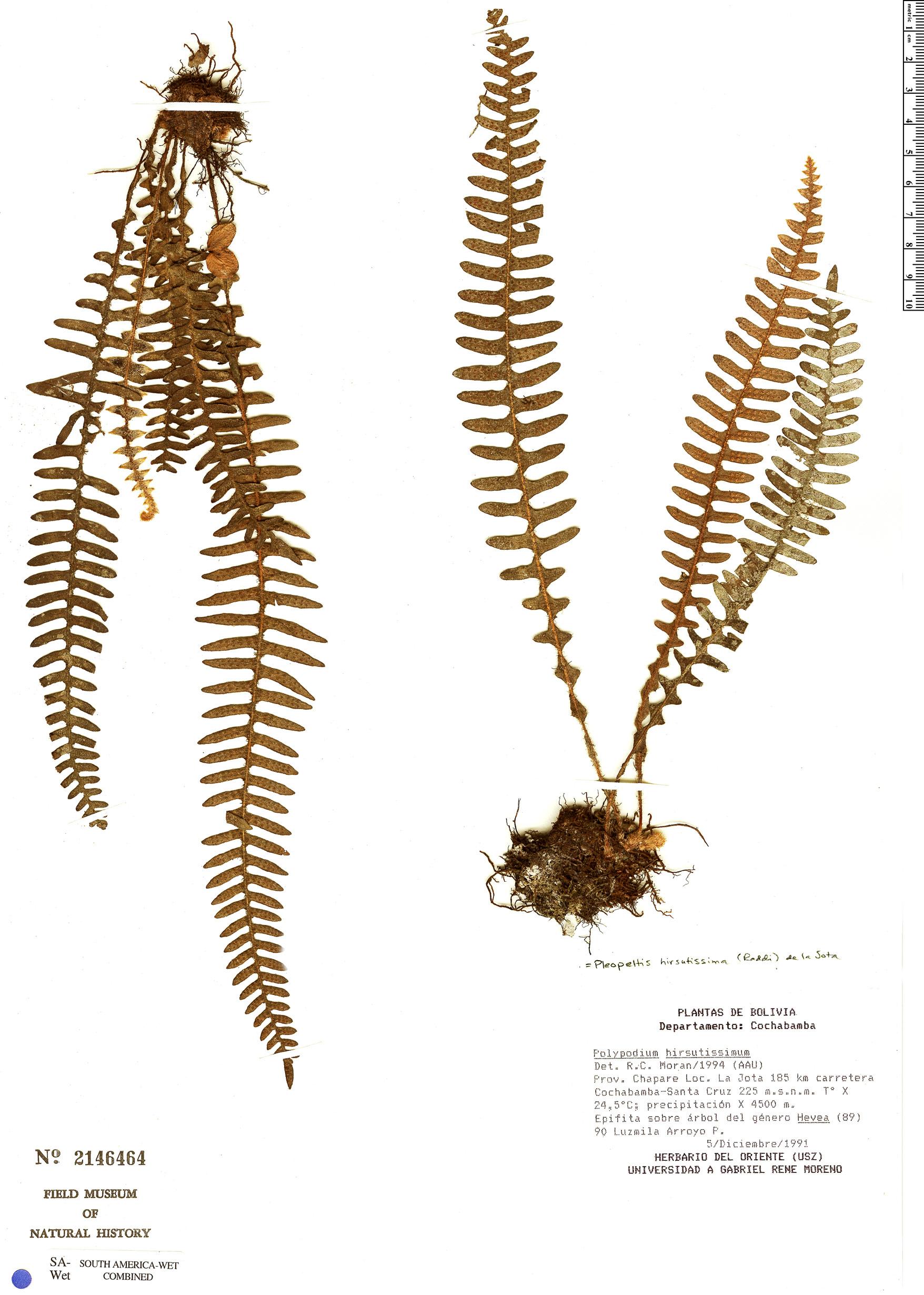 Specimen: Pleopeltis hirsutissima