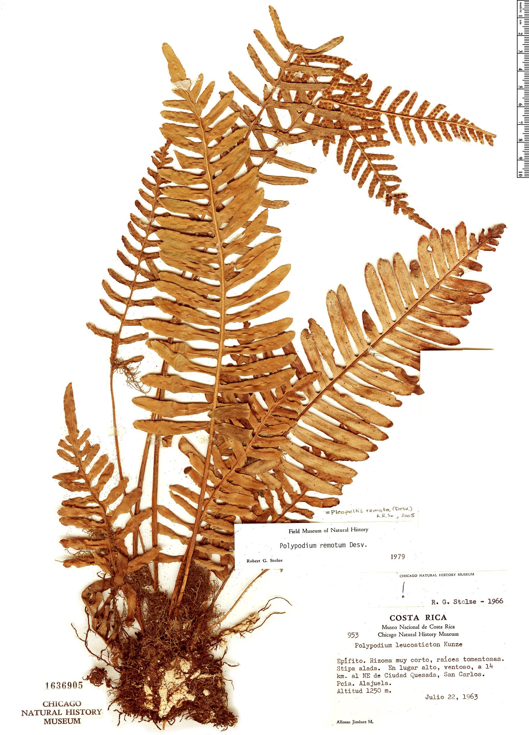 Specimen: Pleopeltis remota