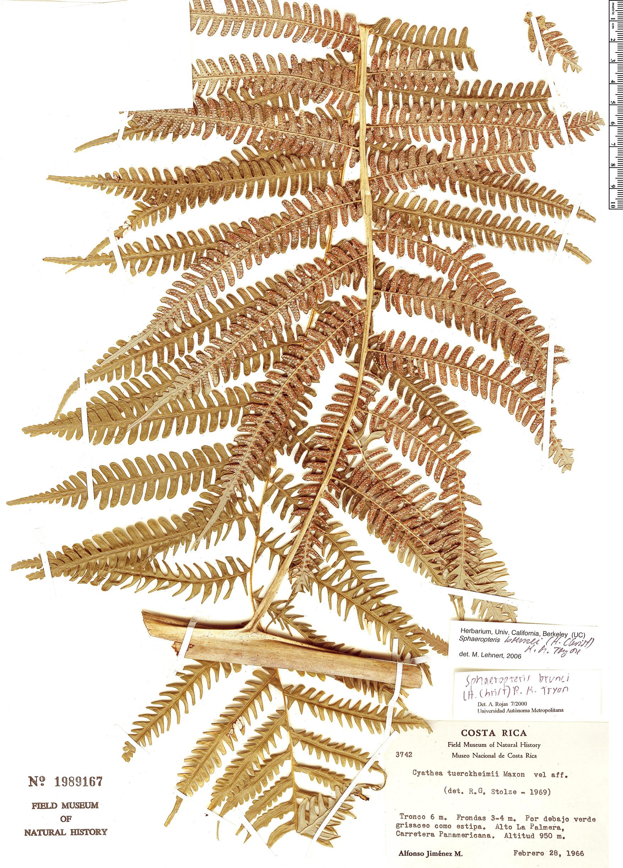 Specimen: Sphaeropteris brunei