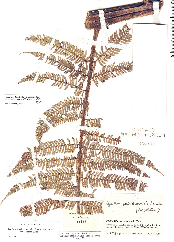 Specimen: Sphaeropteris cuatrecasasii