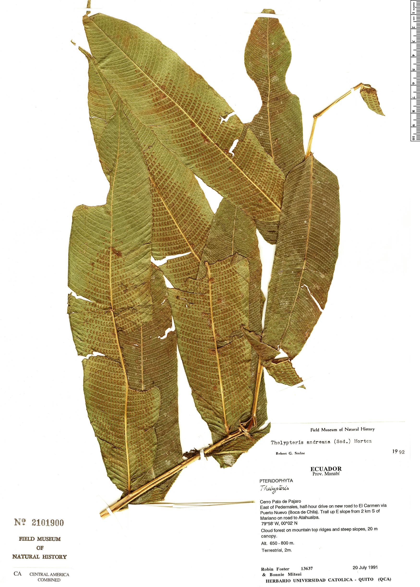 Specimen: Thelypteris andreana