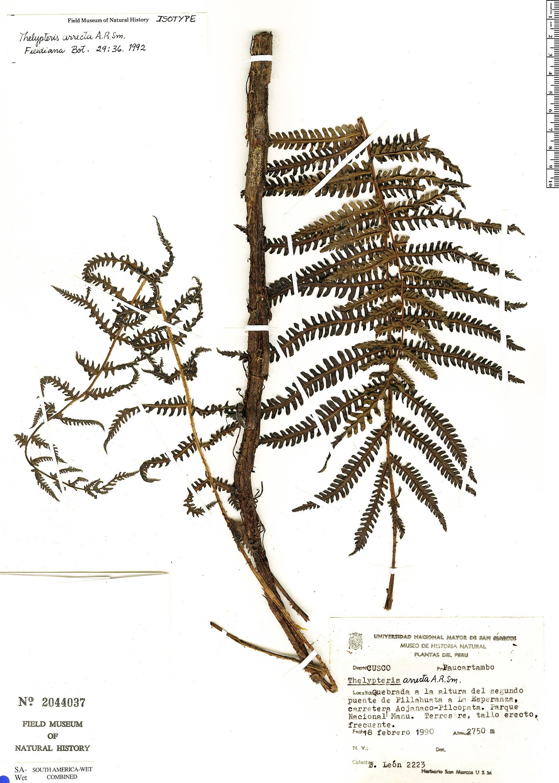 Specimen: Thelypteris arrecta