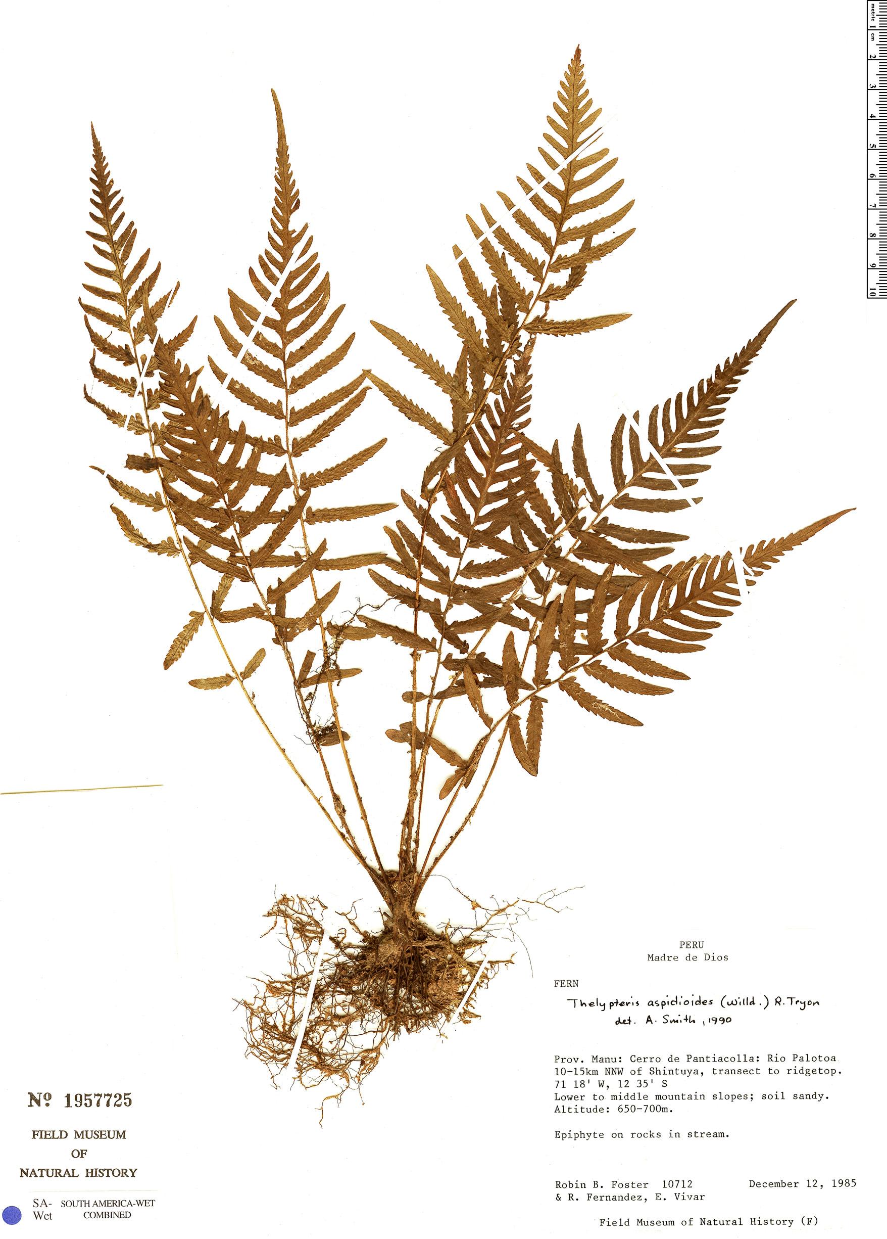 Specimen: Thelypteris aspidioides