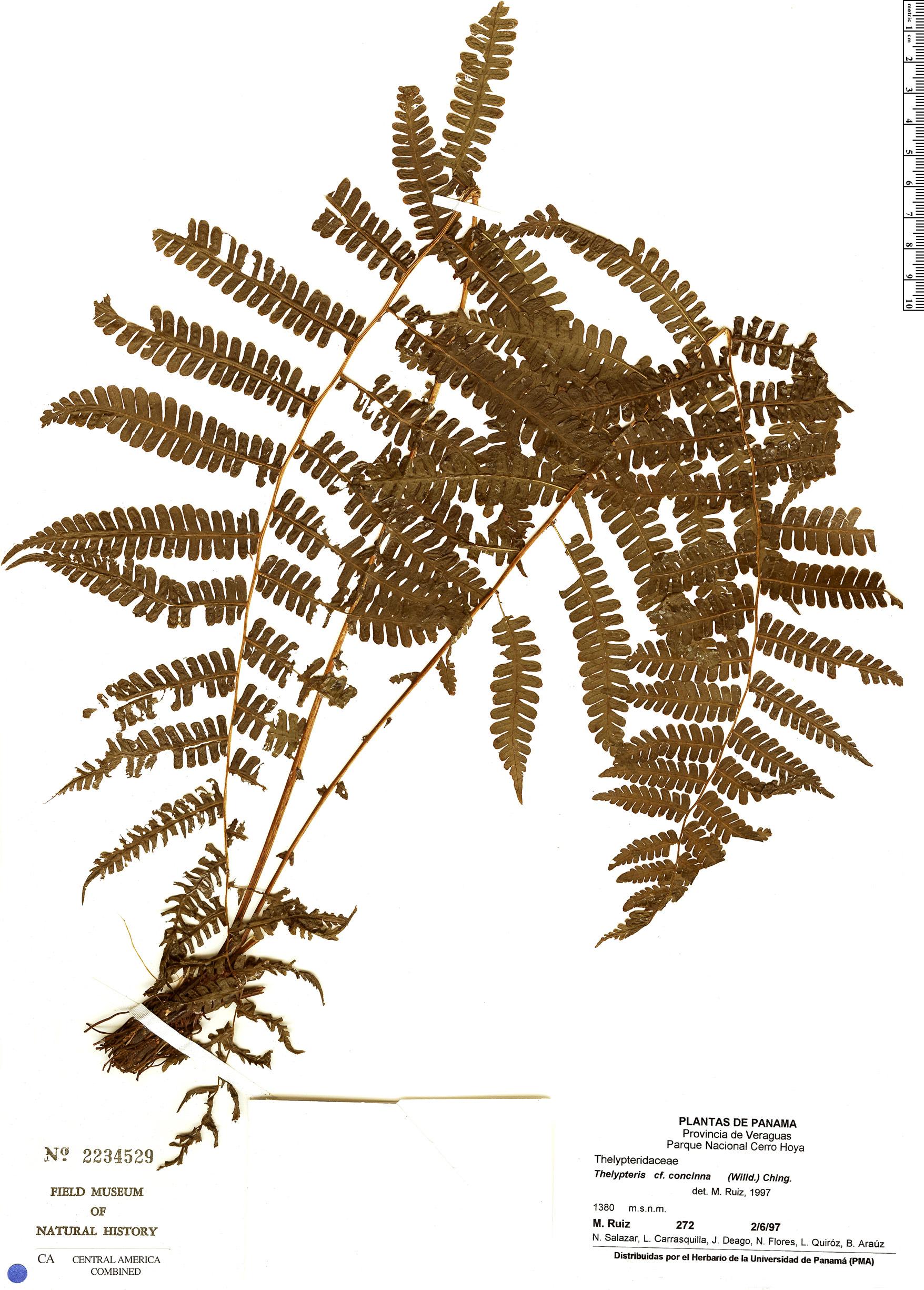Specimen: Thelypteris concinna