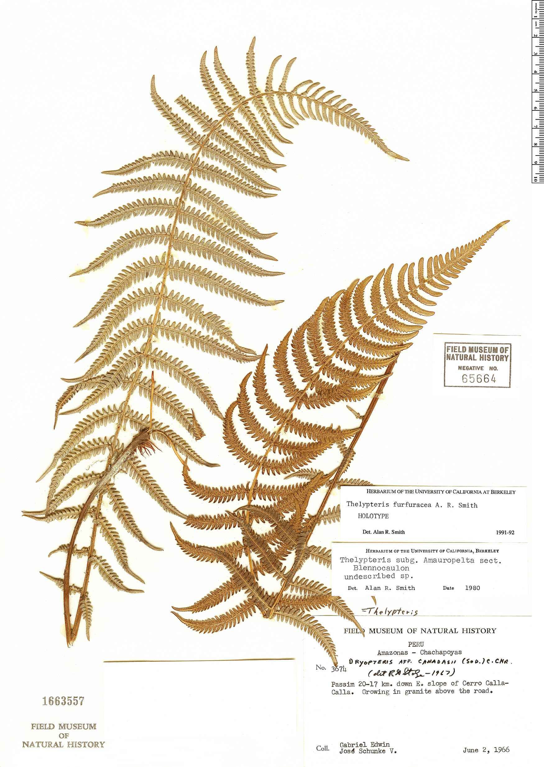 Specimen: Thelypteris furfuracea