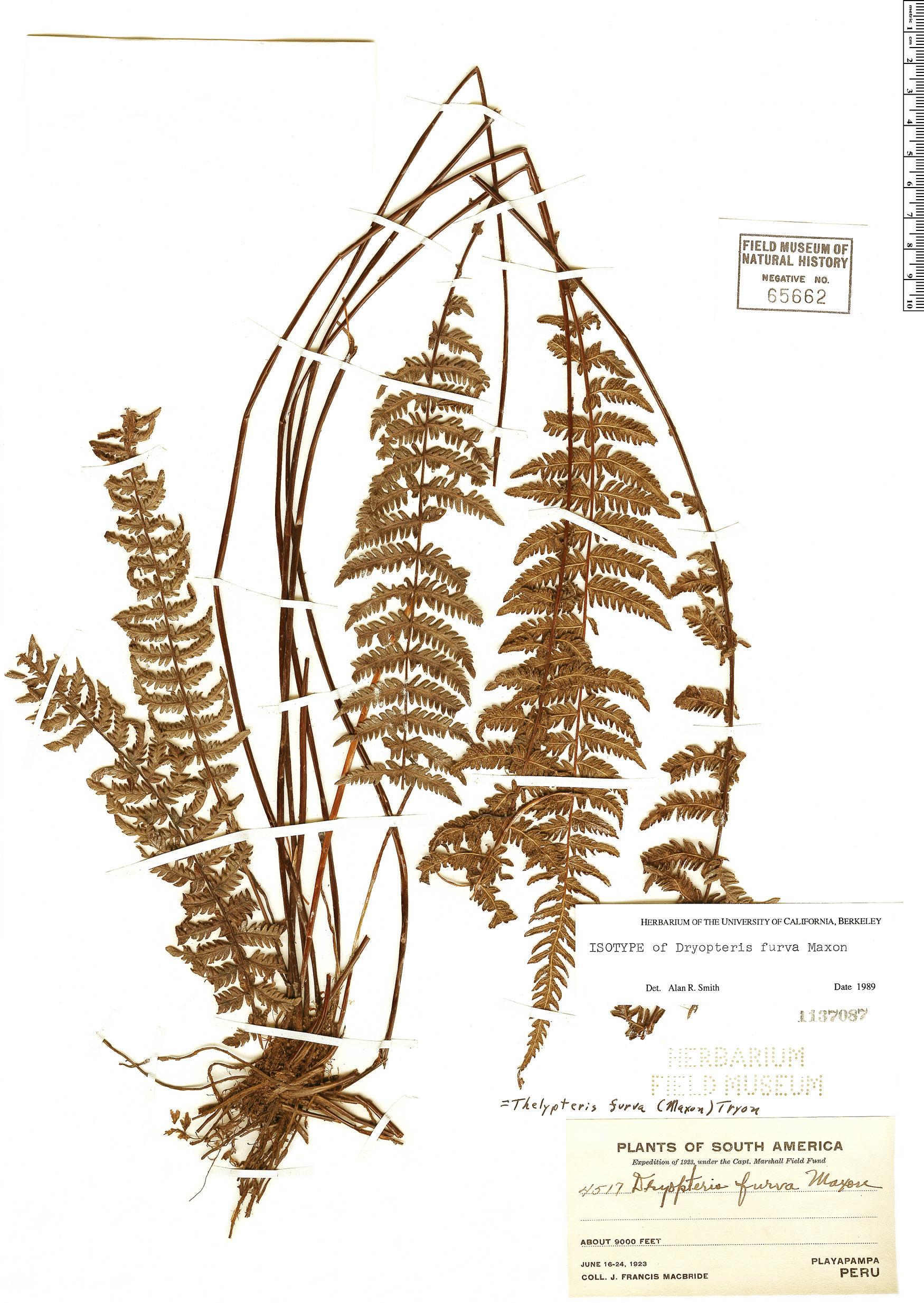 Specimen: Amauropelta furva