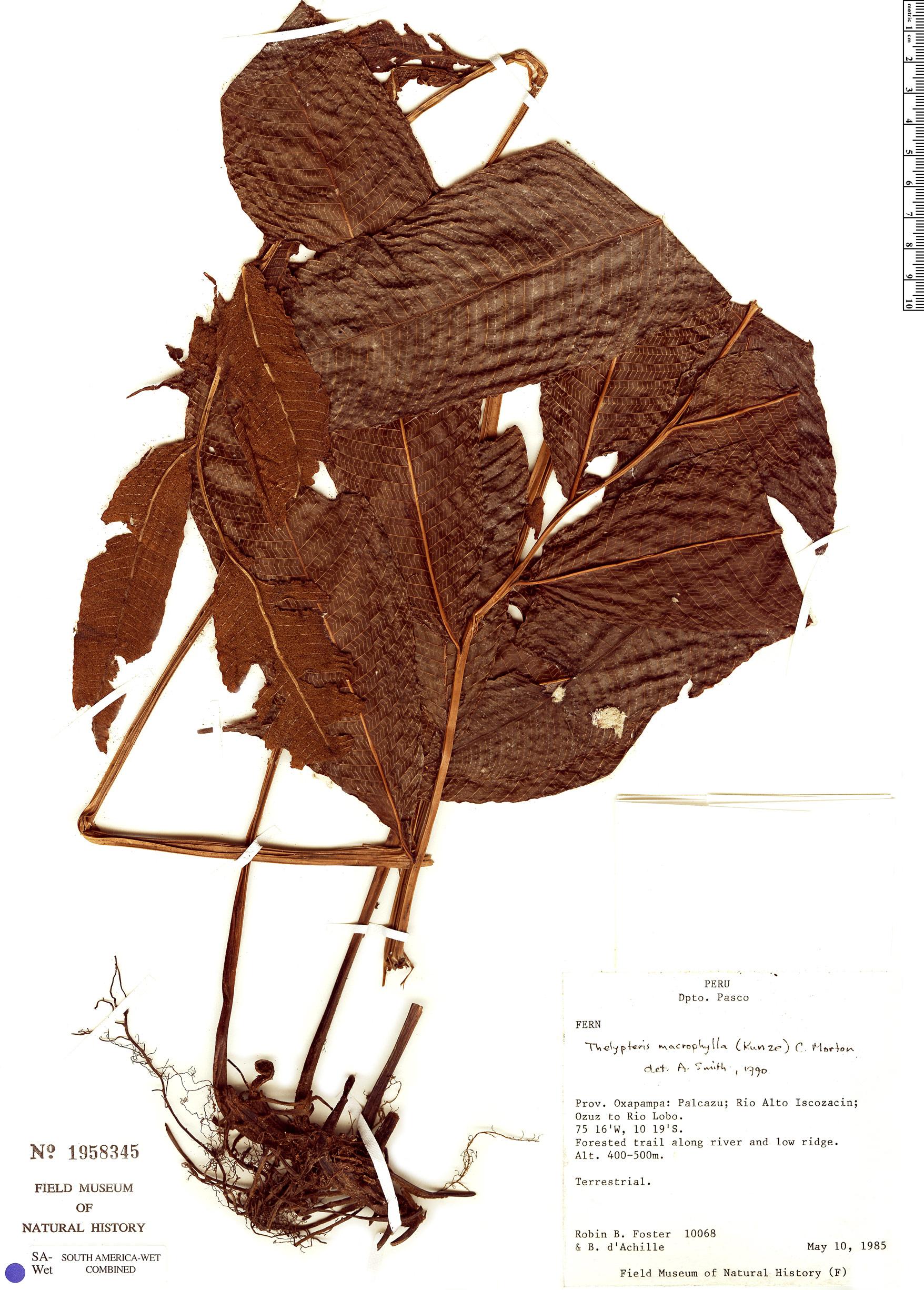 Specimen: Thelypteris macrophylla