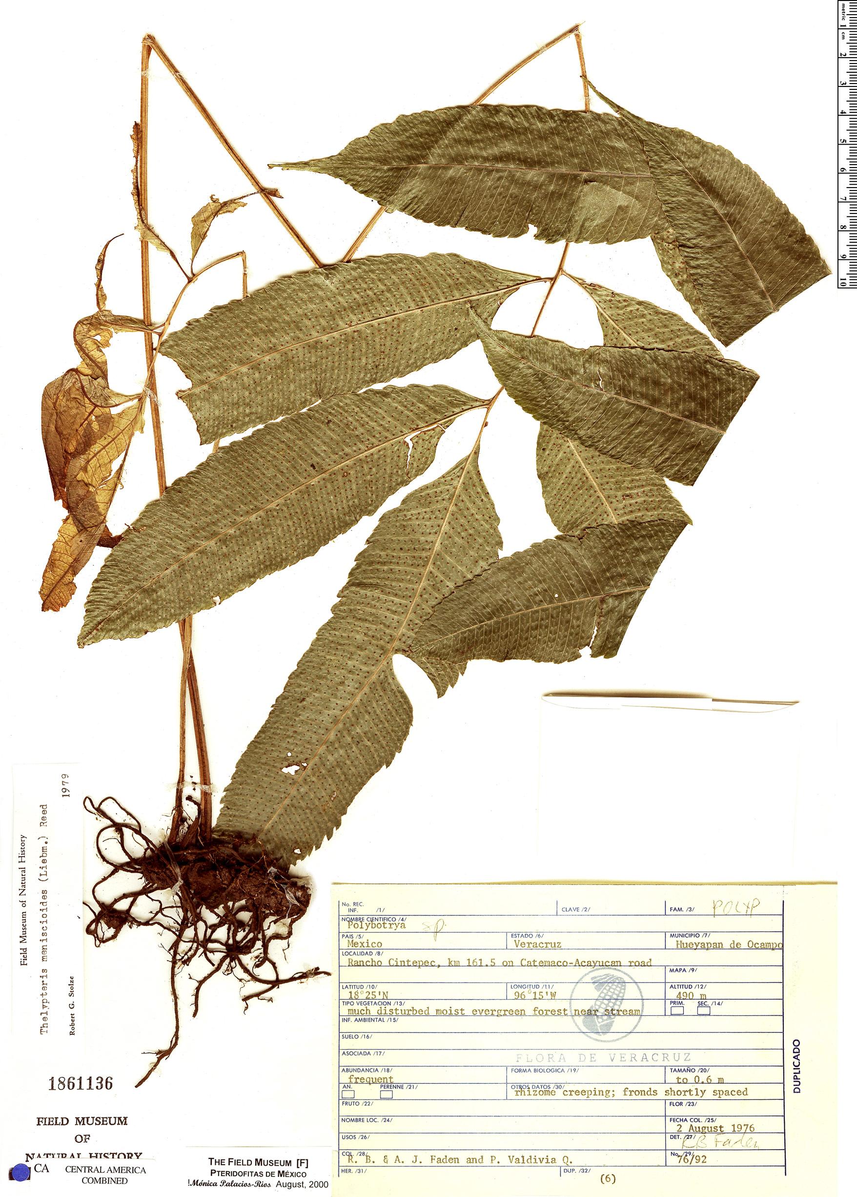 Specimen: Thelypteris meniscioides