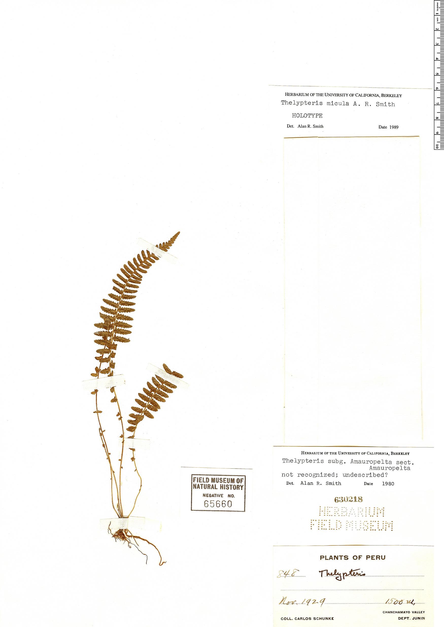 Specimen: Thelypteris micula