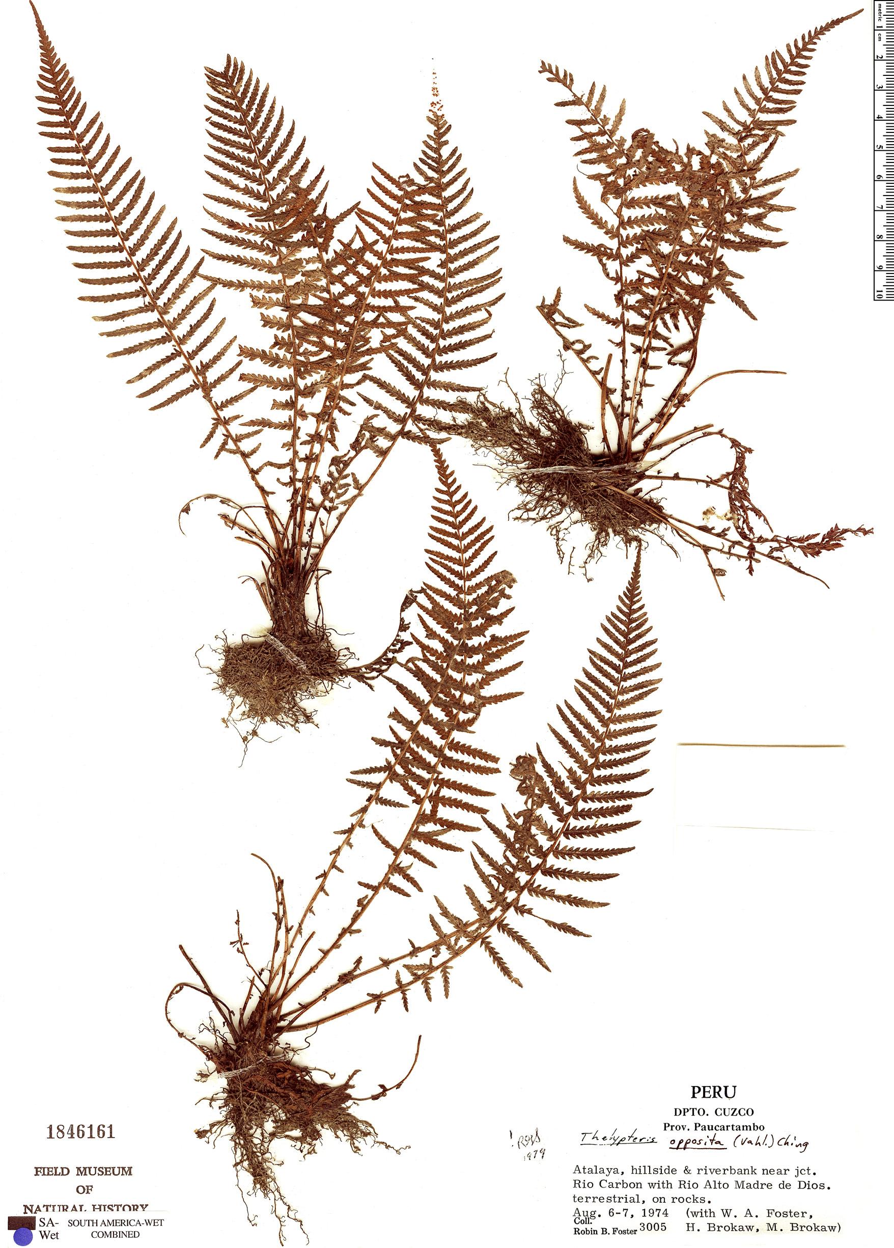 Specimen: Thelypteris opposita