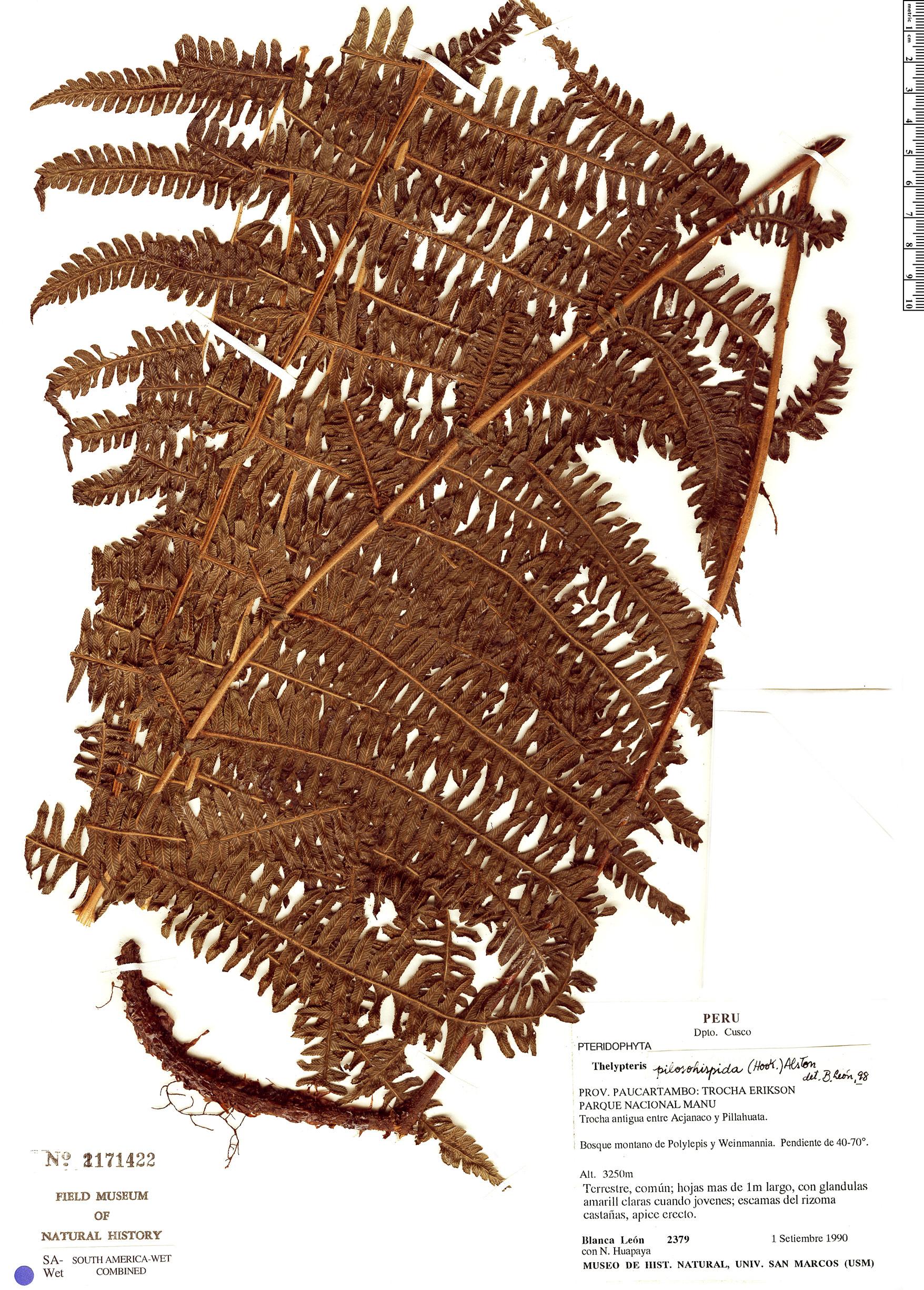 Specimen: Thelypteris pilosohispida