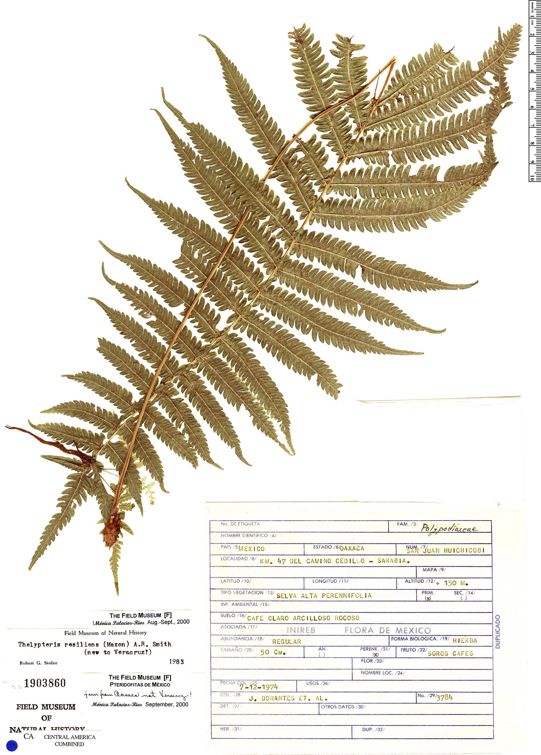 Specimen: Thelypteris resiliens