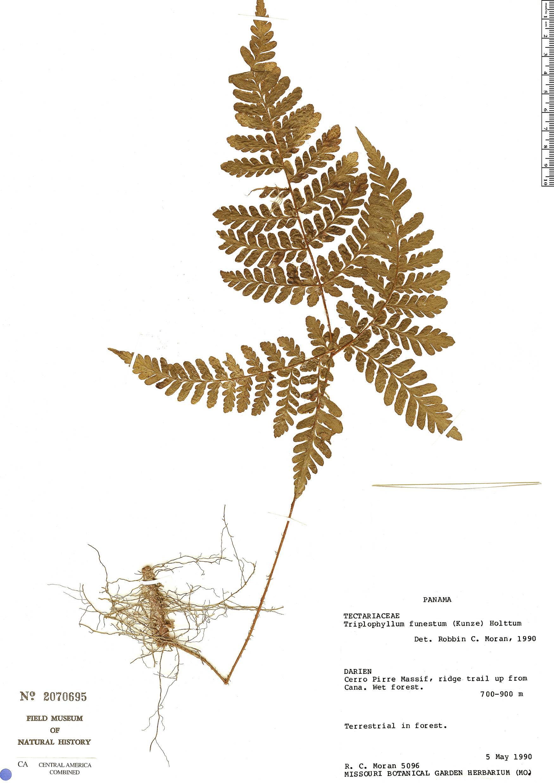 Specimen: Triplophyllum chocoense