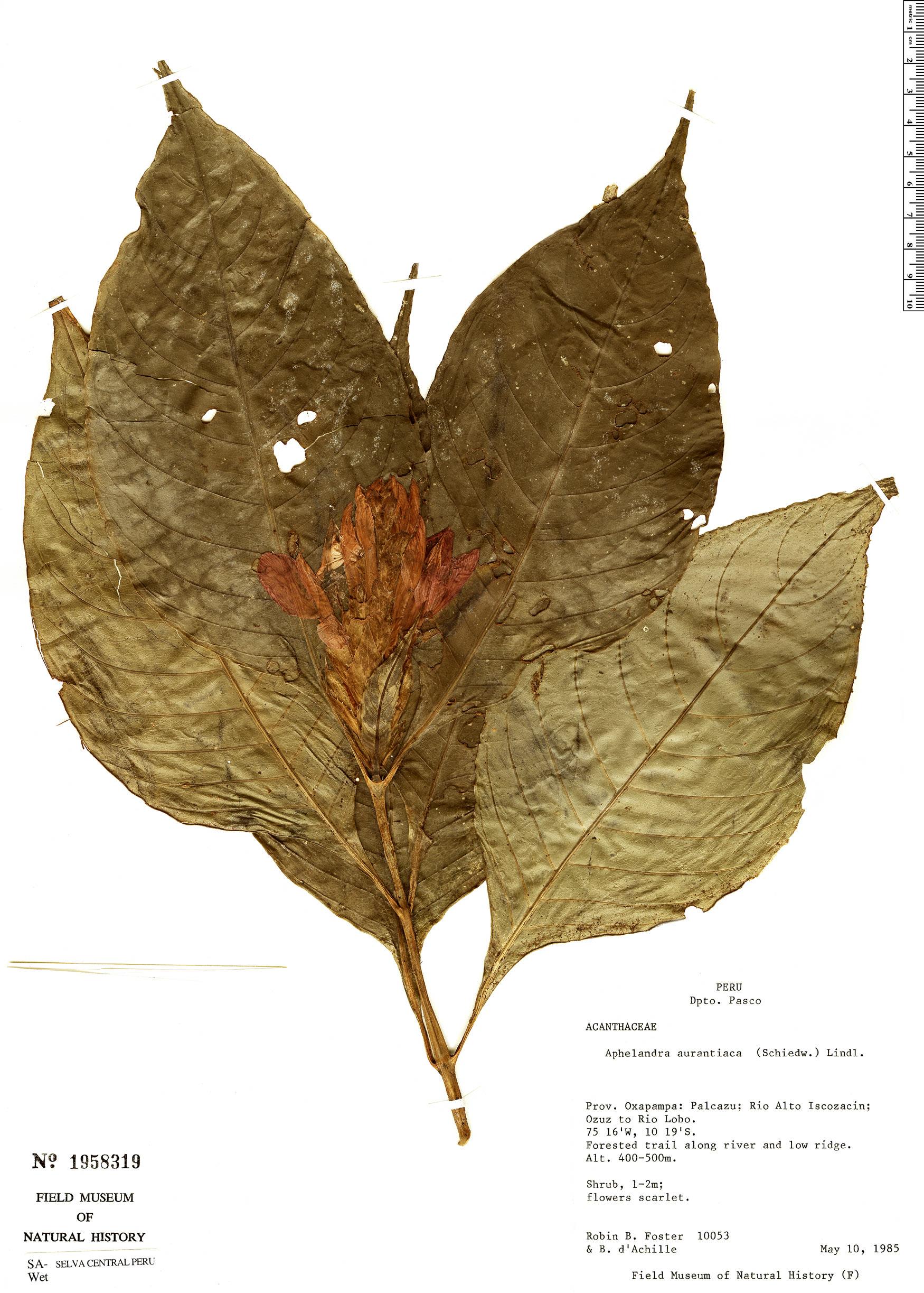 Specimen: Aphelandra