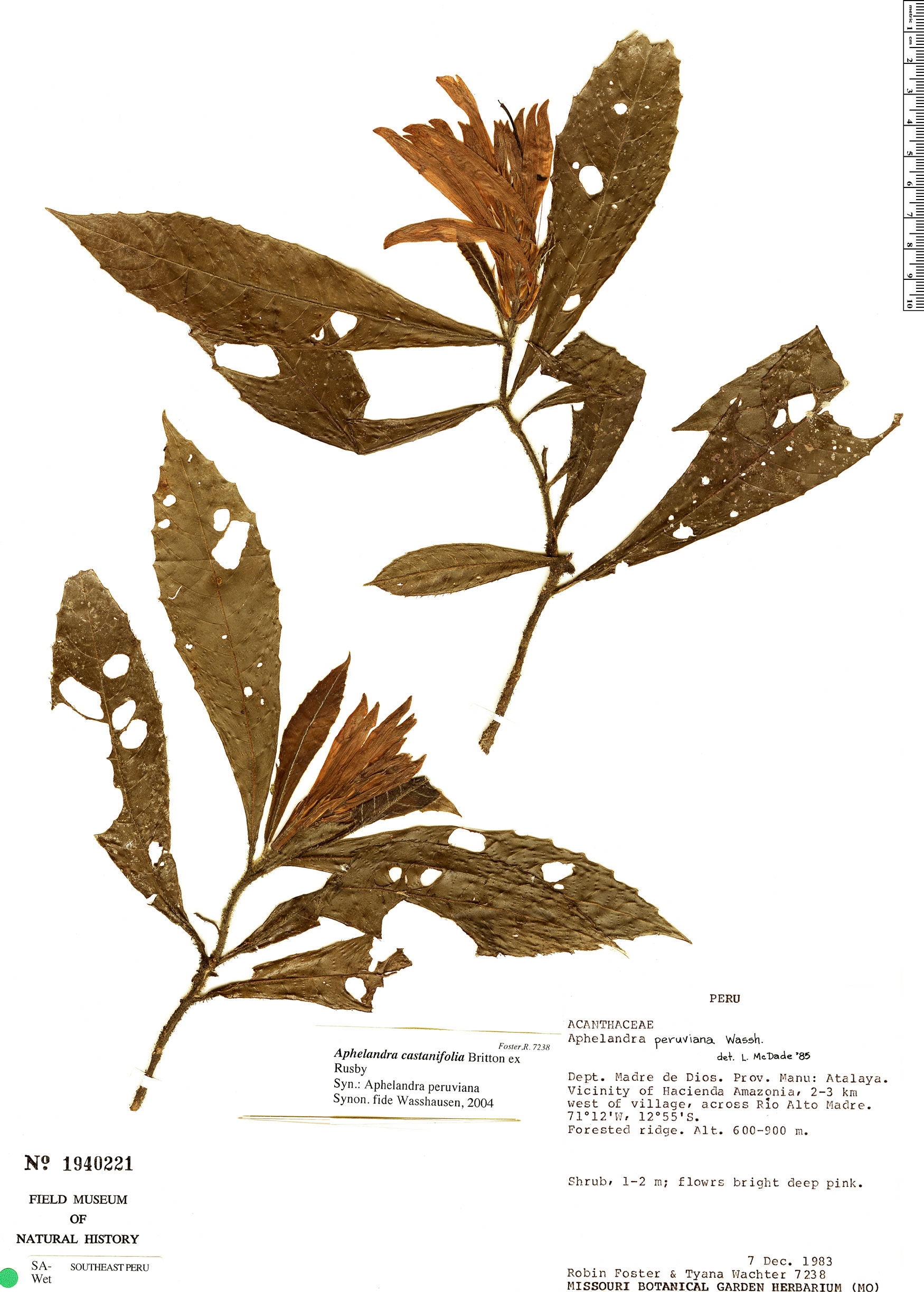 Specimen: Aphelandra castaneifolia