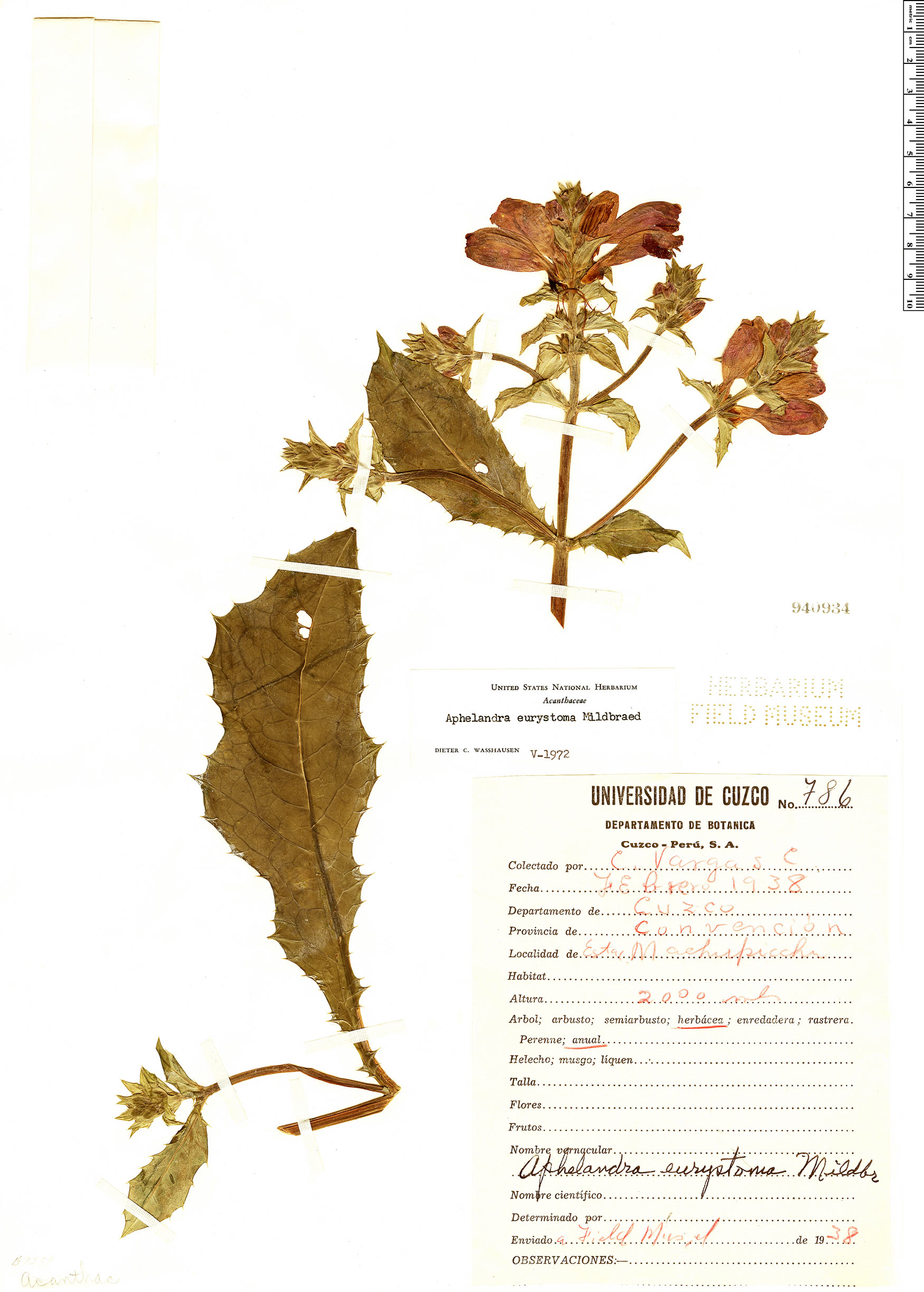 Specimen: Aphelandra eurystoma