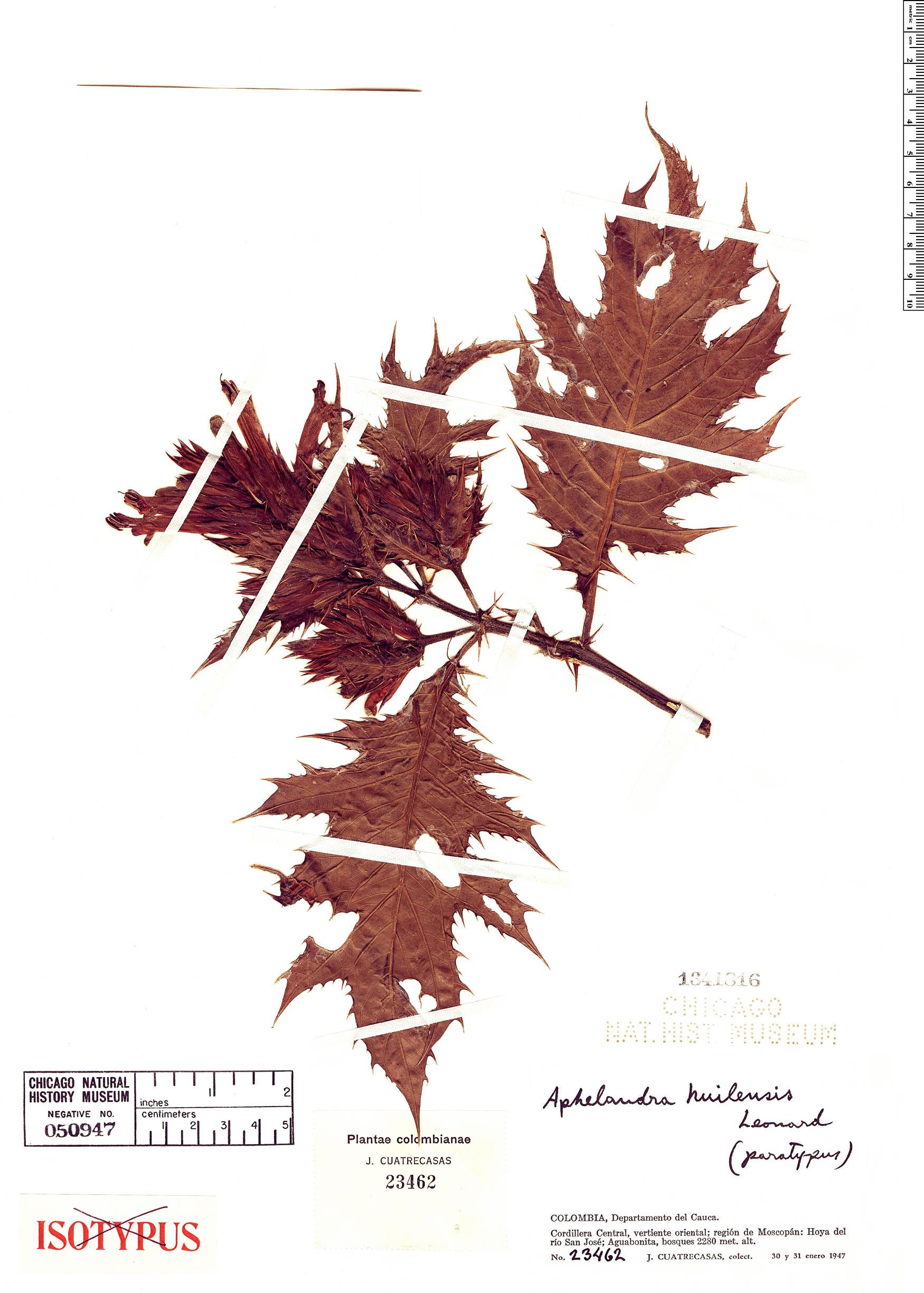 Espécime: Aphelandra huilensis