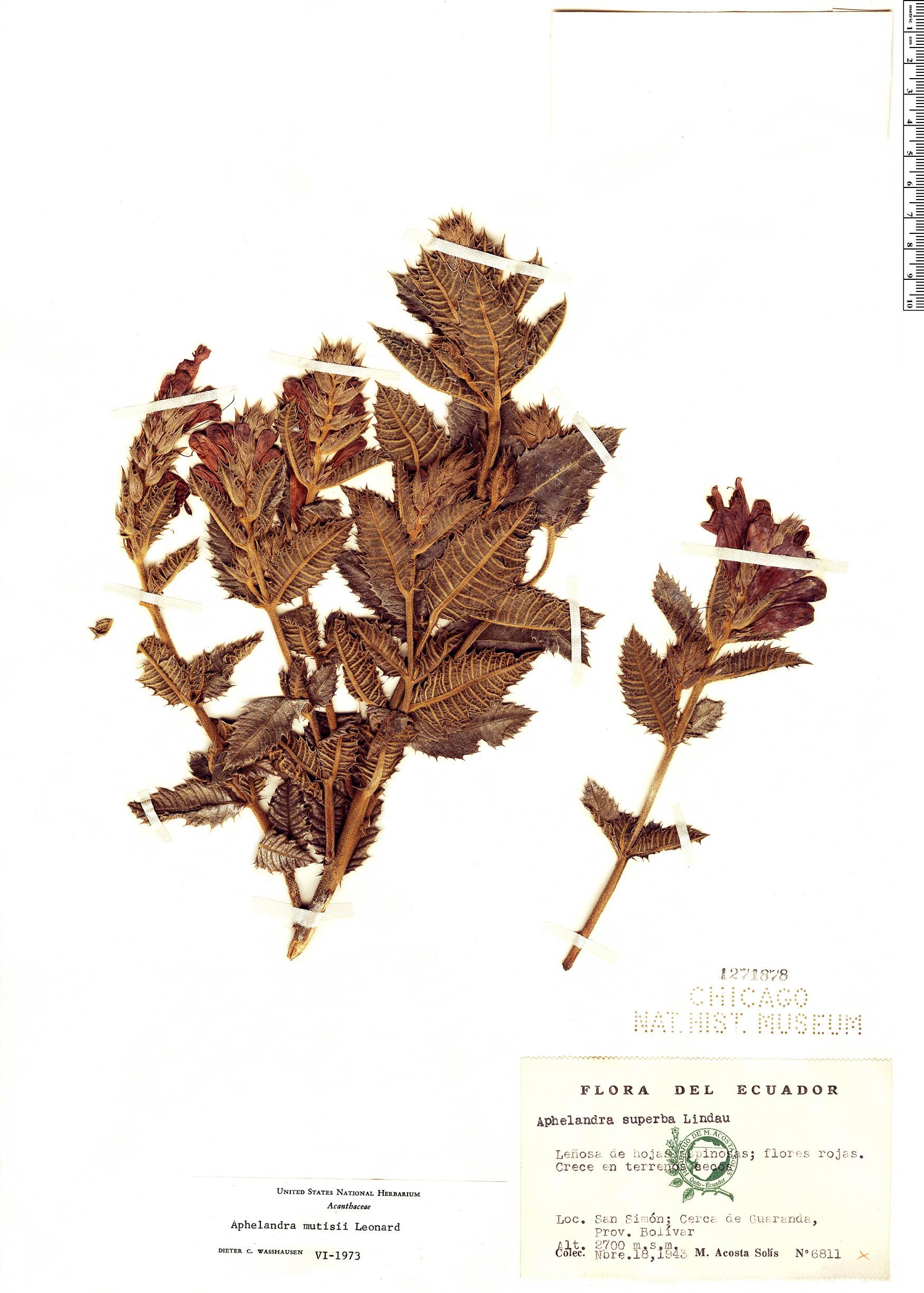 Specimen: Aphelandra formosa