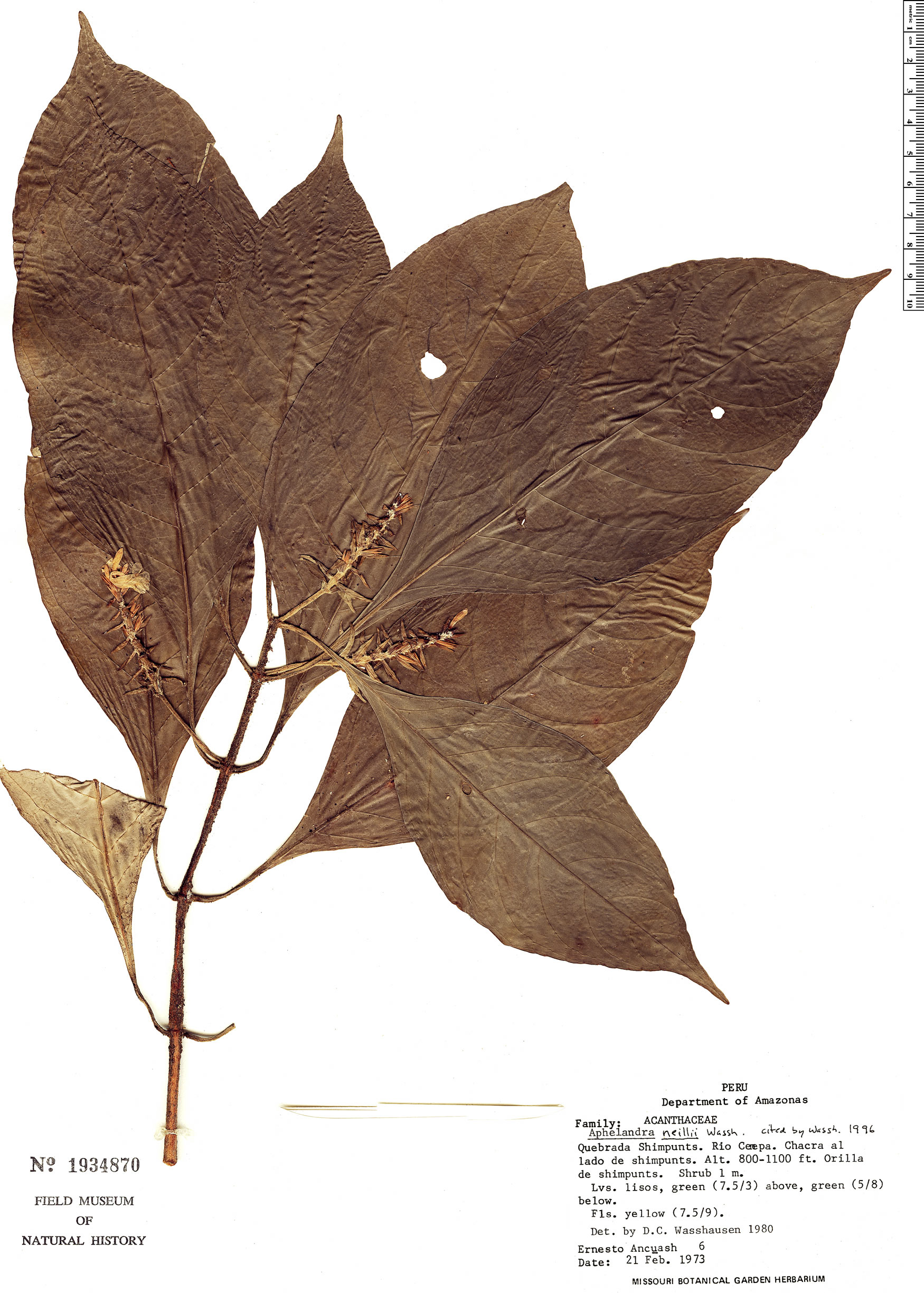 Specimen: Aphelandra neillii