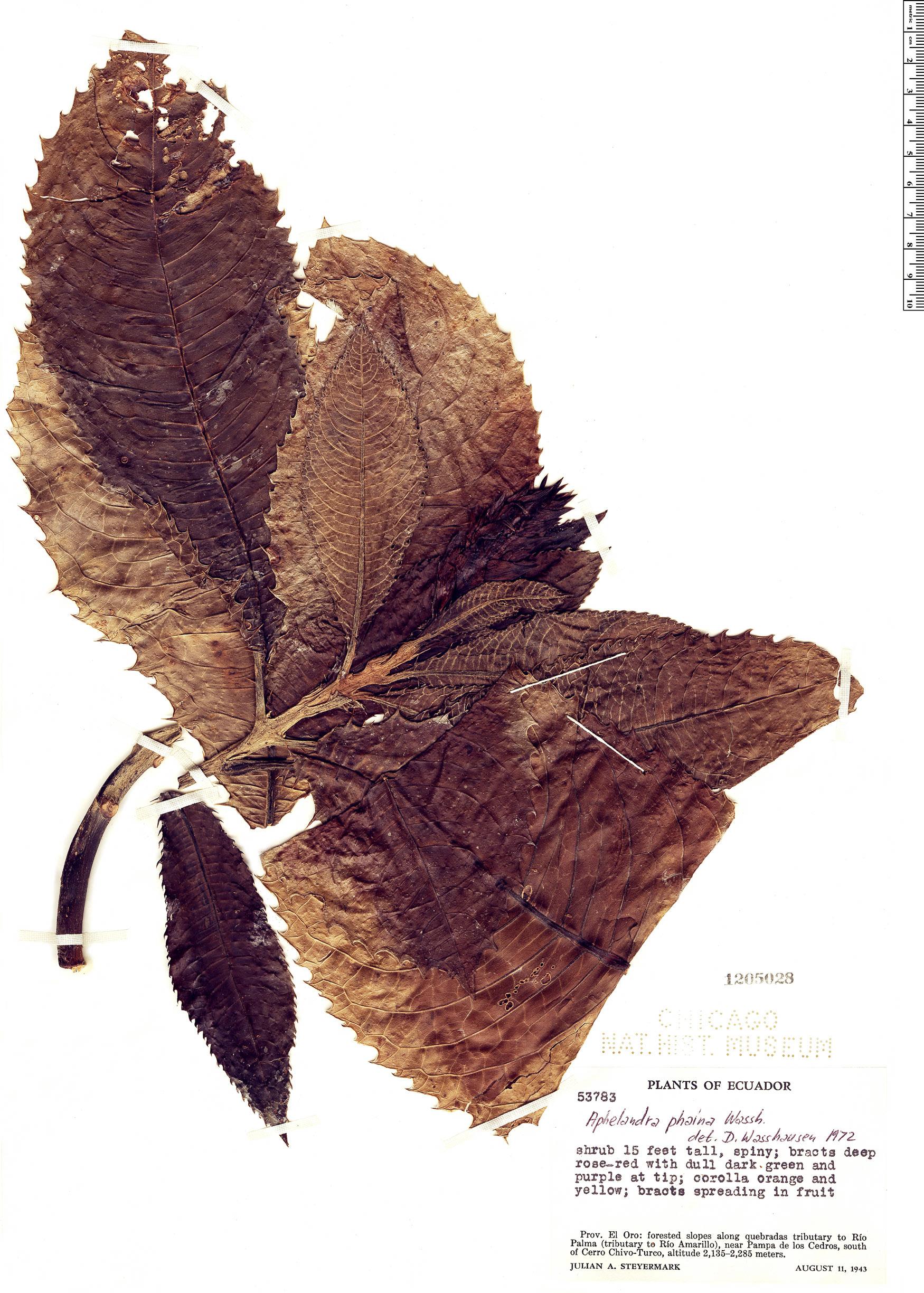 Specimen: Aphelandra phaina