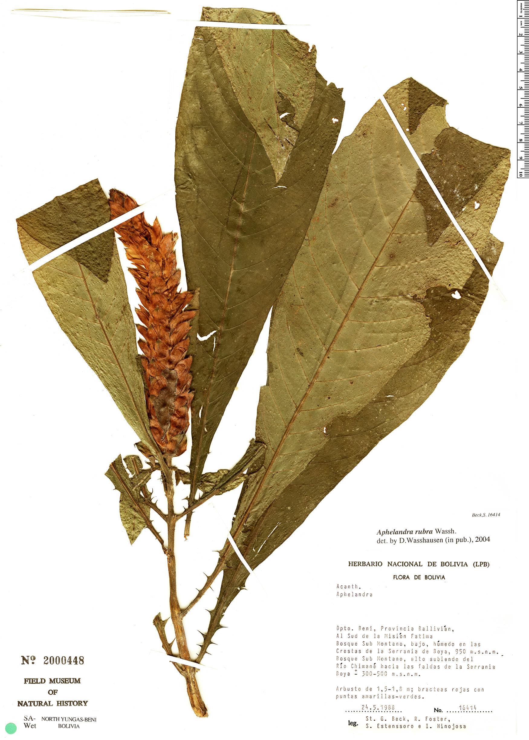 Specimen: Aphelandra rubra