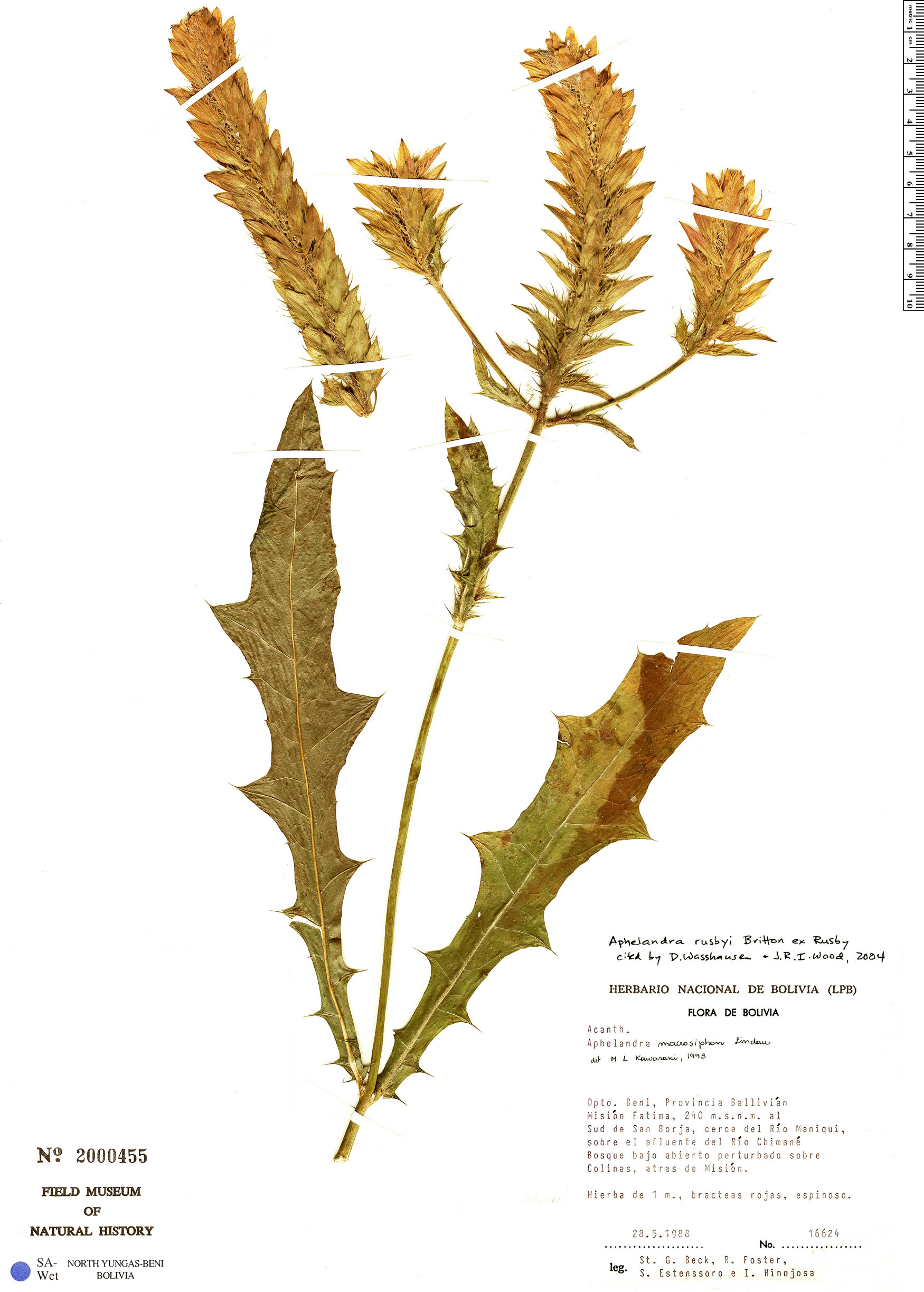 Specimen: Aphelandra rusbyi