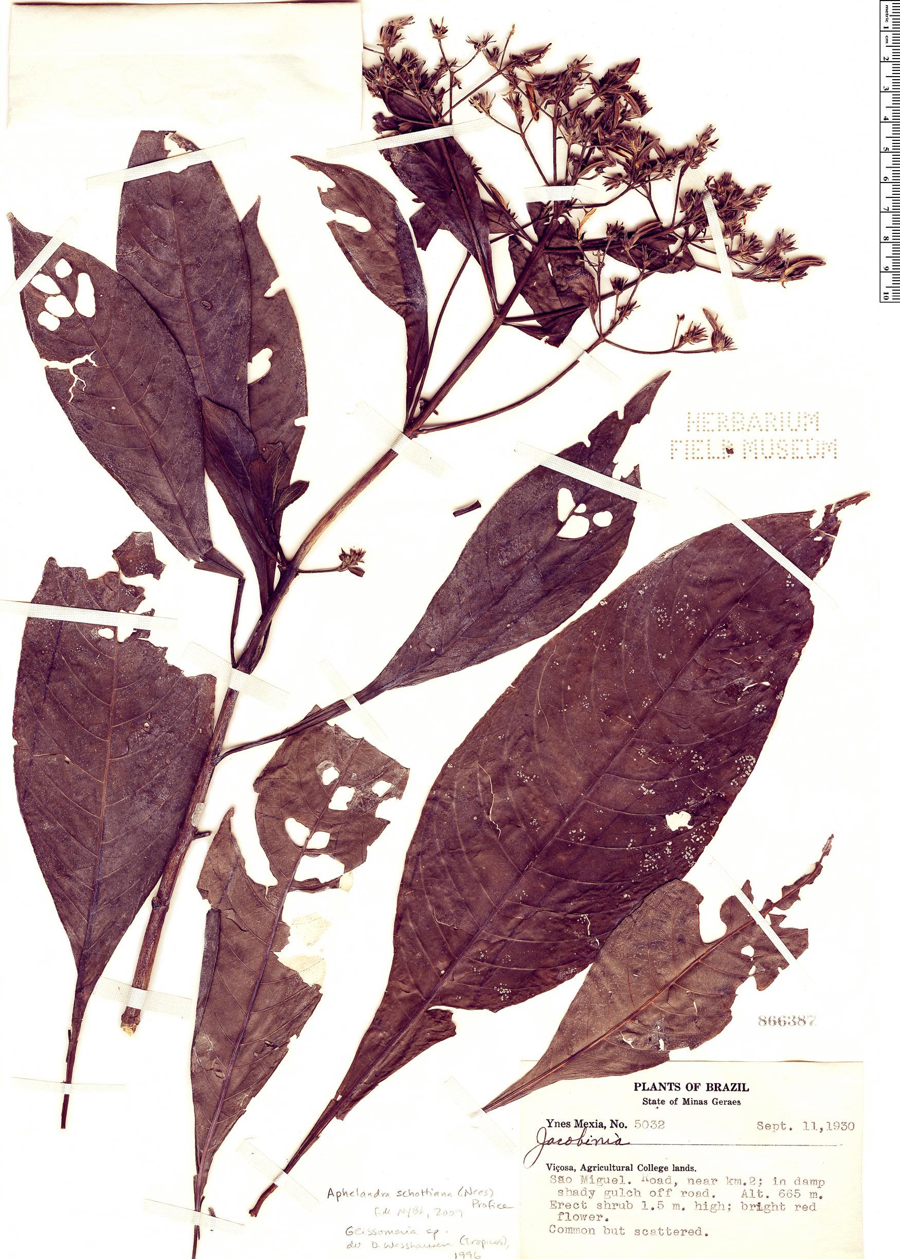 Specimen: Aphelandra schottiana