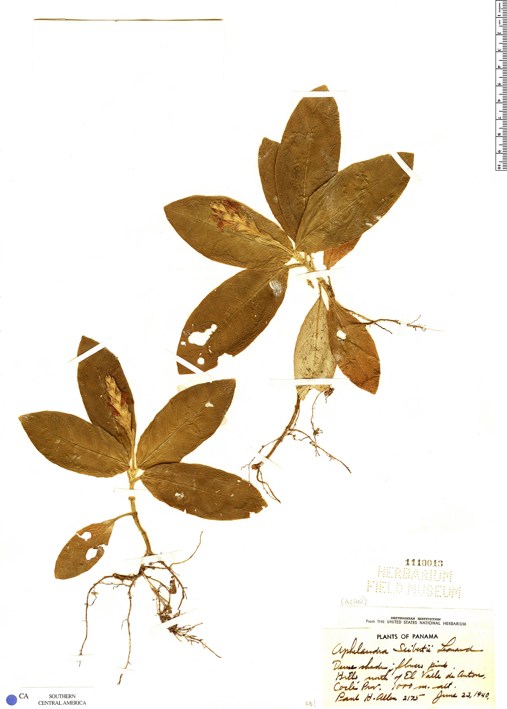 Specimen: Aphelandra seibertii