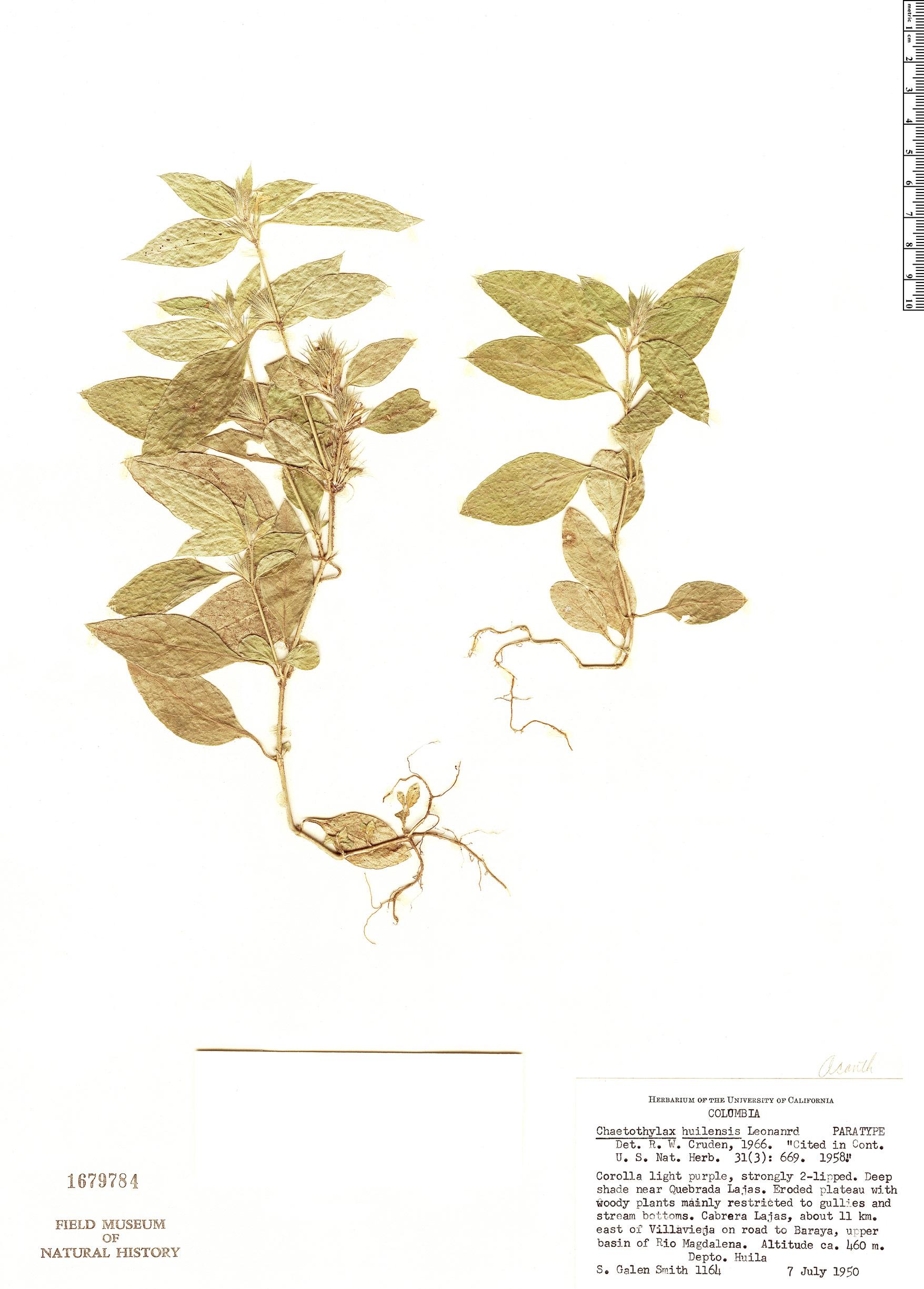 Specimen: Justicia huilensis