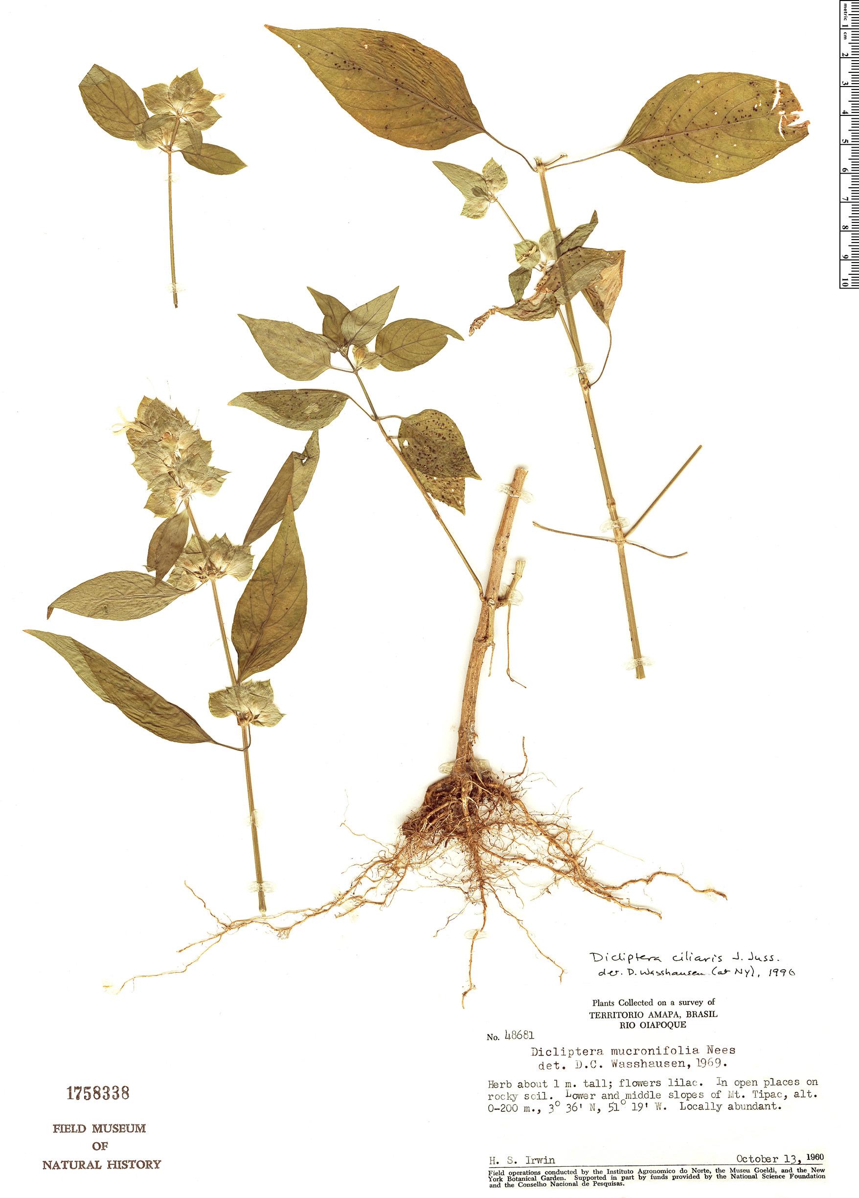 Specimen: Dicliptera ciliaris