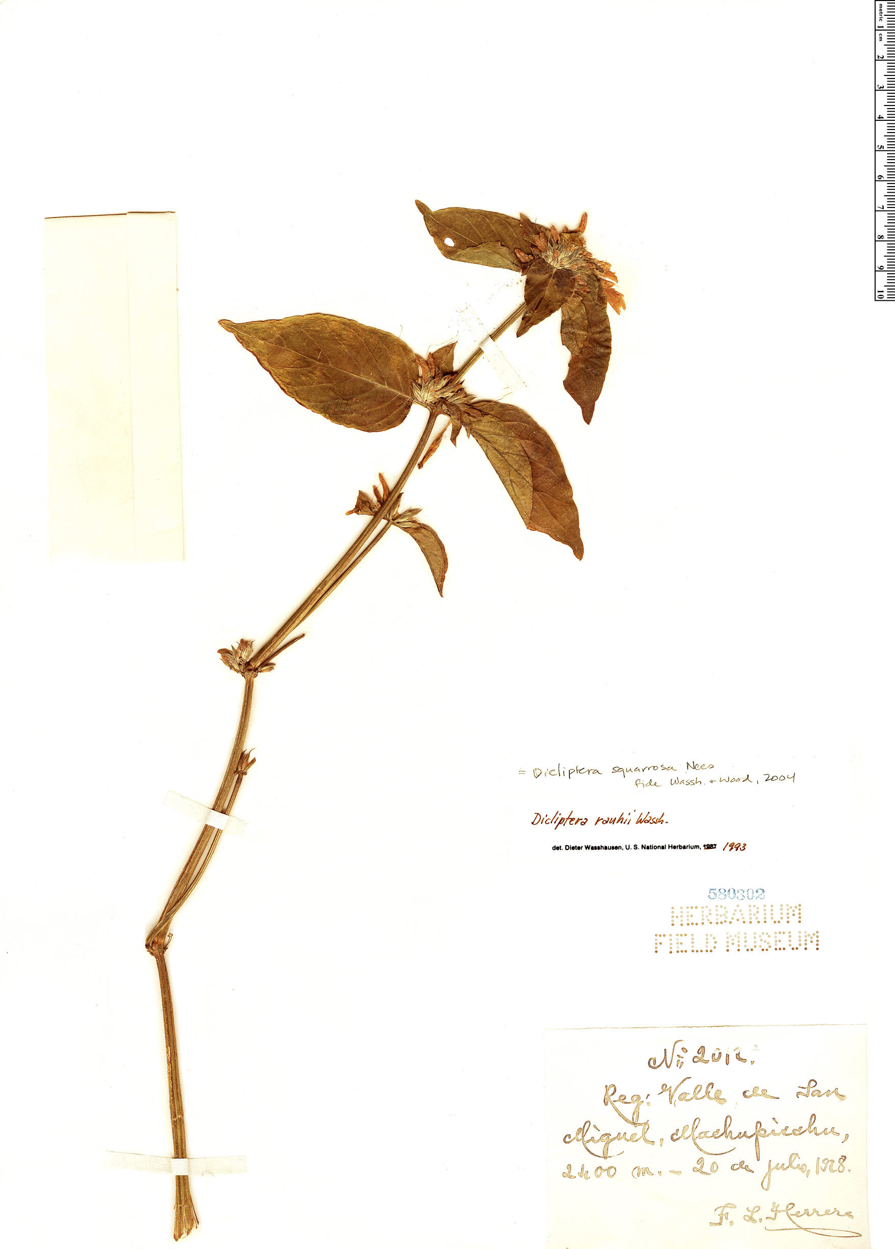 Espécime: Dicliptera squarrosa