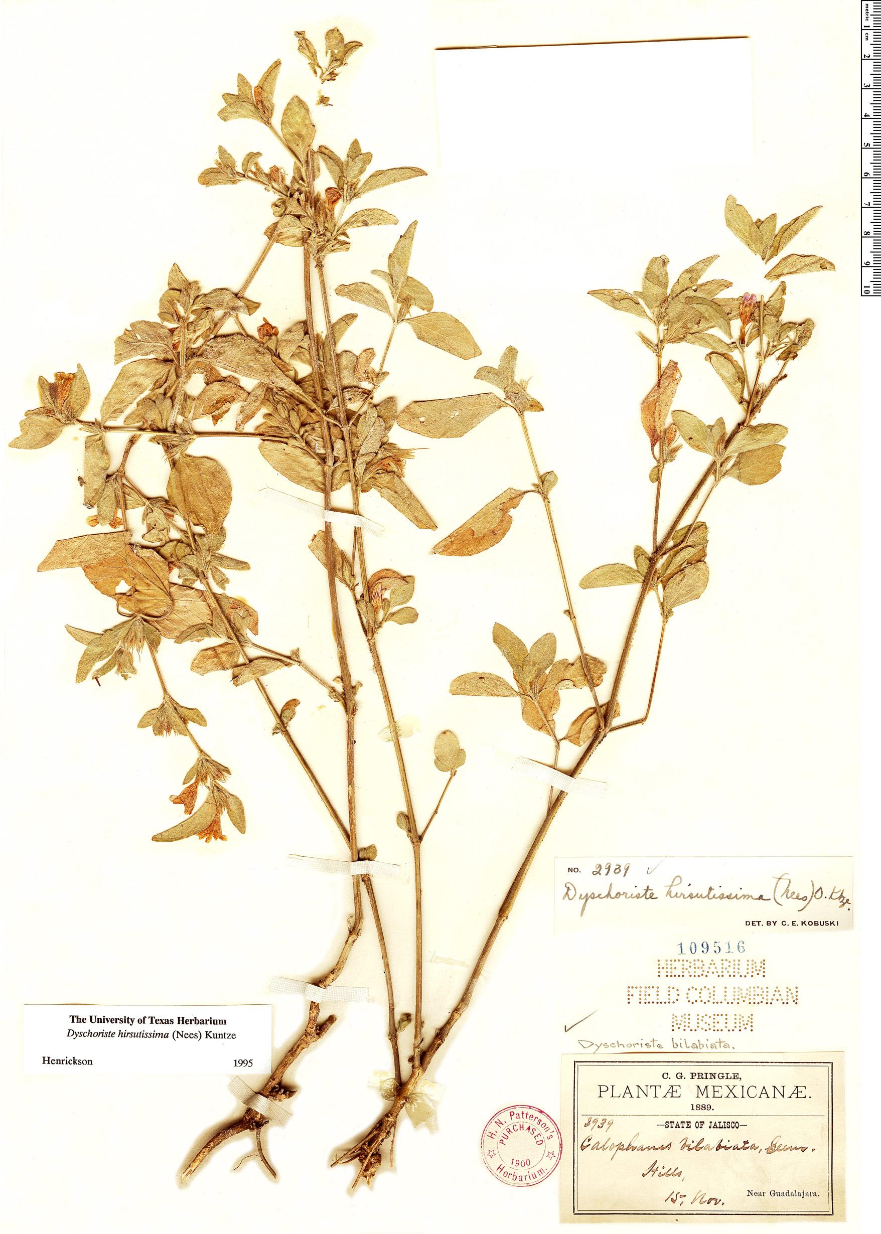 Specimen: Dyschoriste hirsutissima