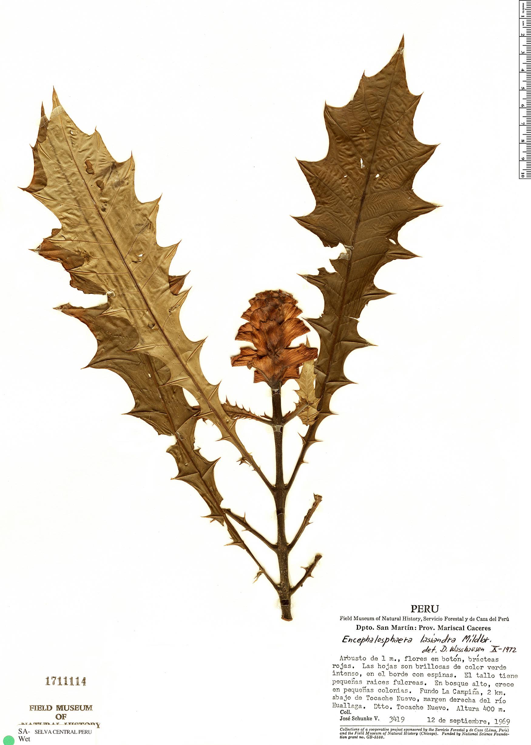 Specimen: Encephalosphaera lasiandra