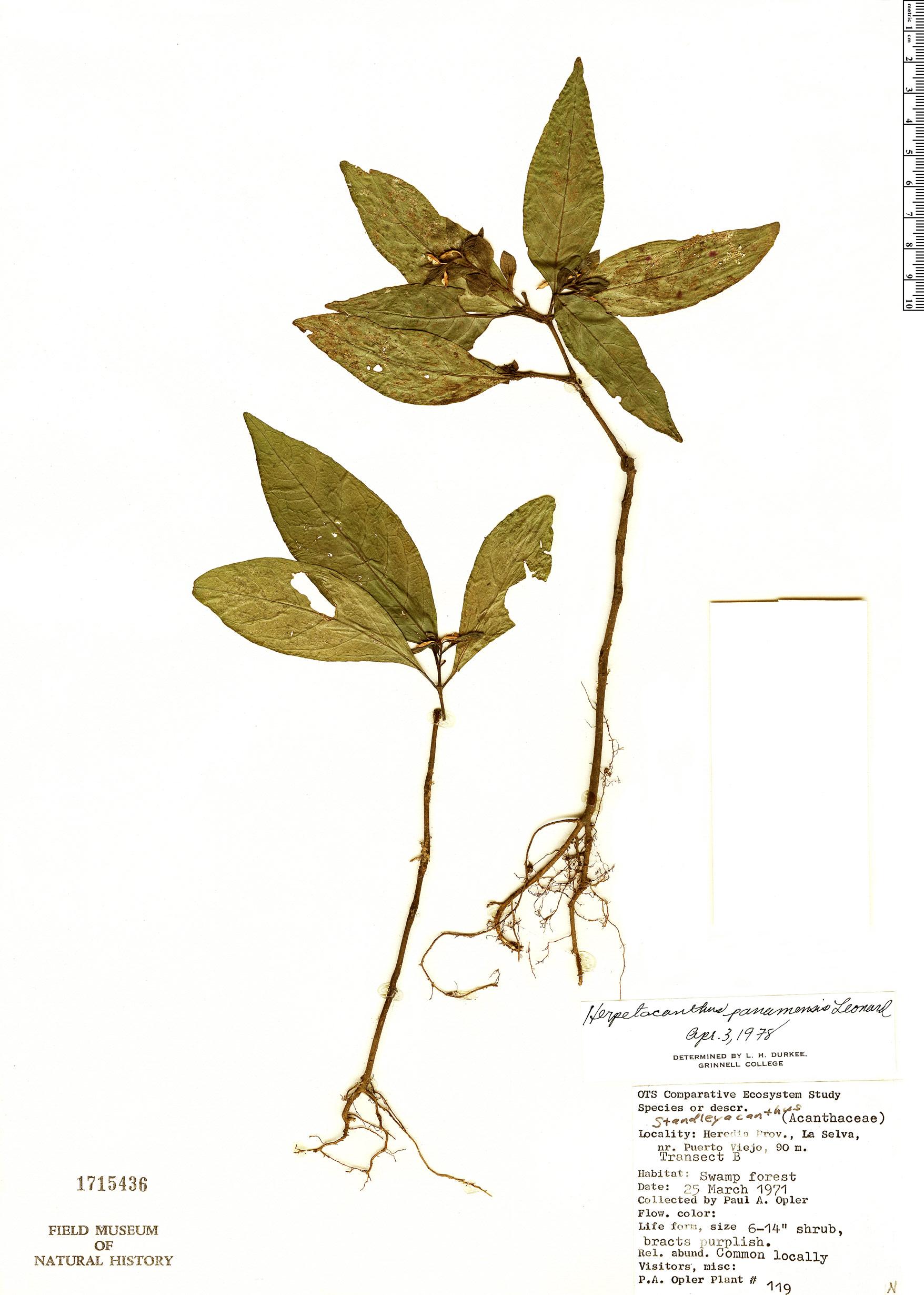 Specimen: Herpetacanthus panamensis