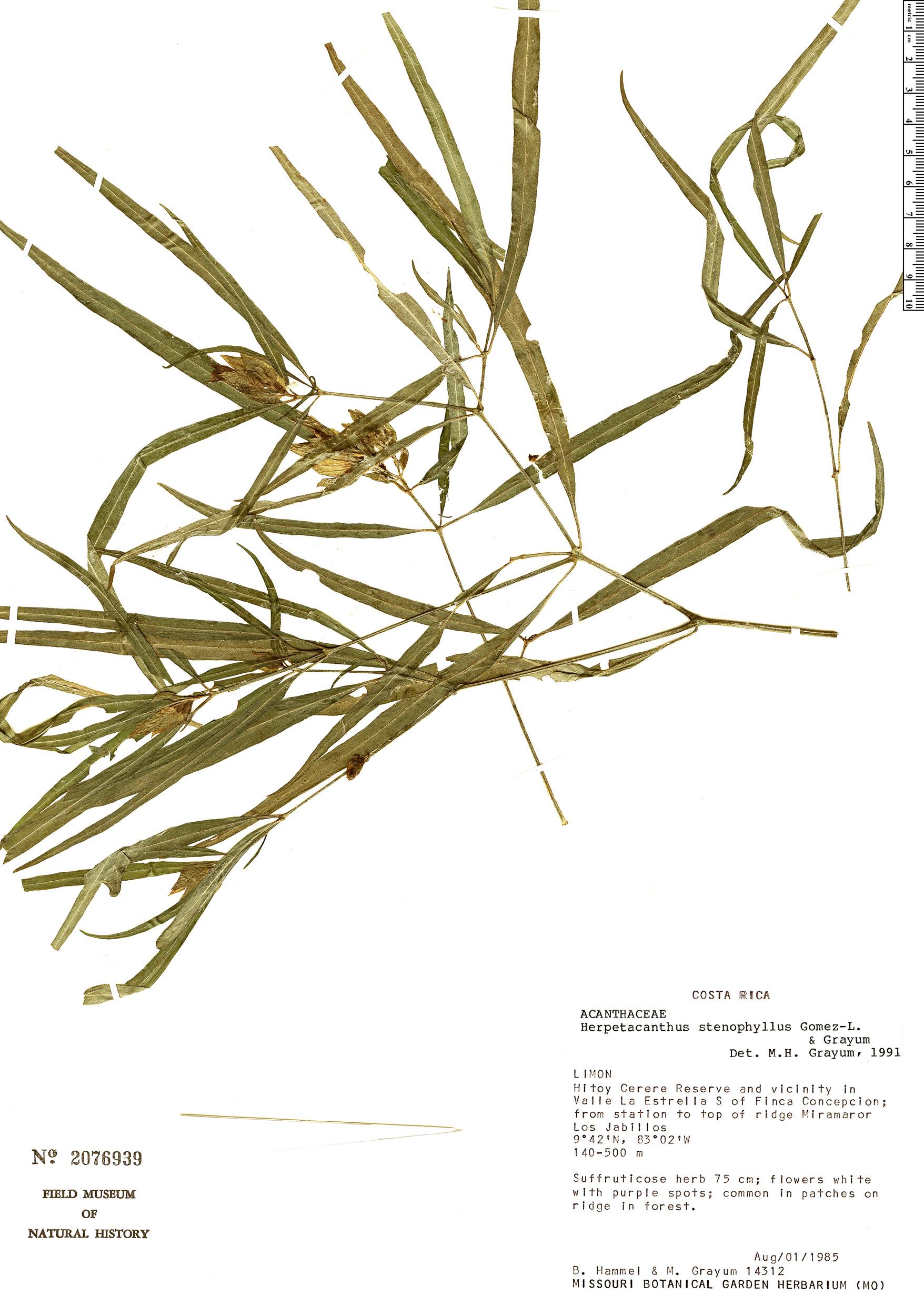 Specimen: Herpetacanthus stenophyllus