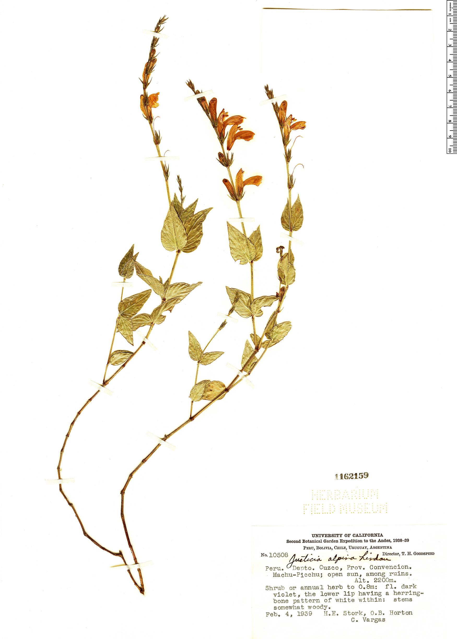 Specimen: Justicia alpina