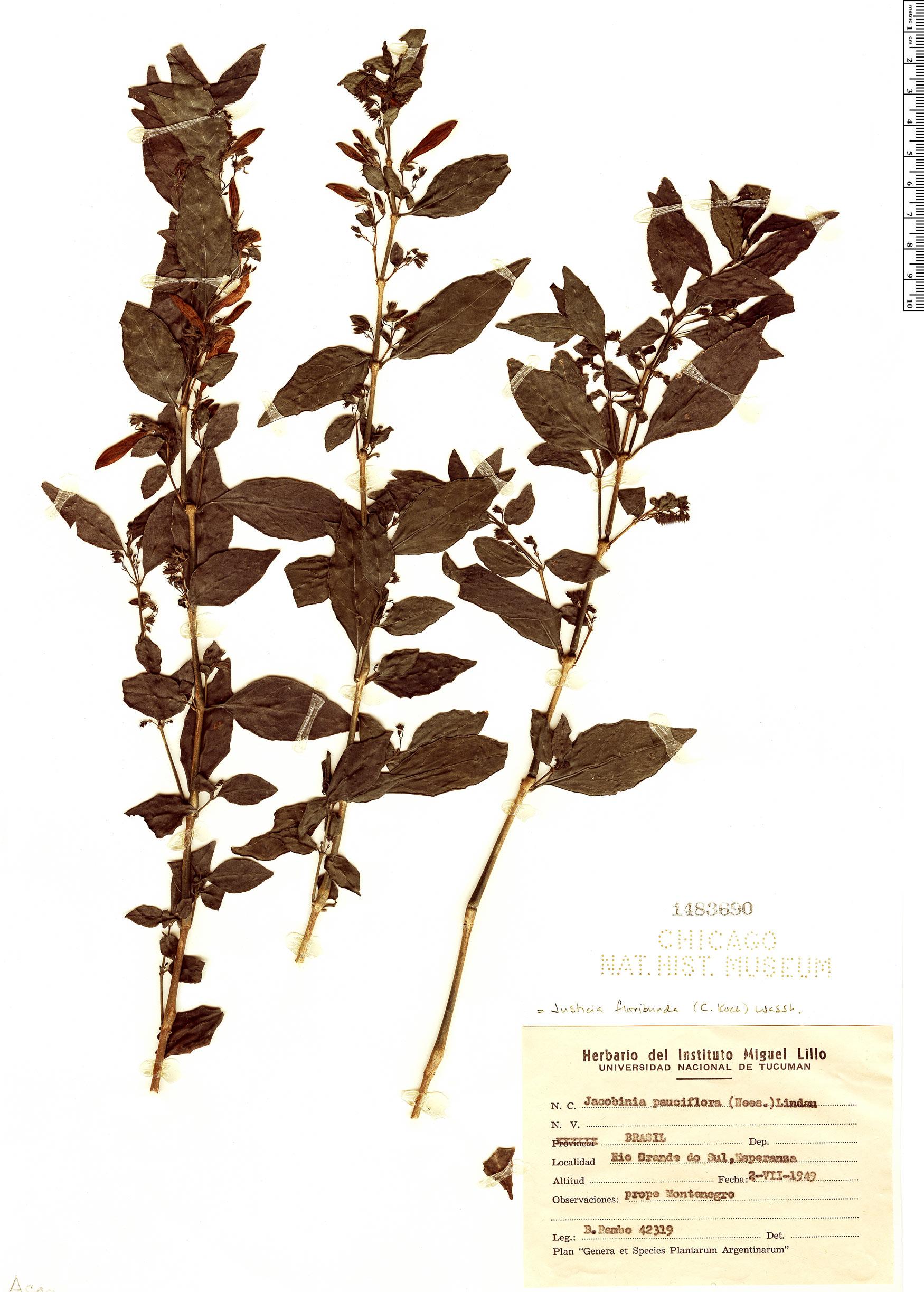 Specimen: Justicia floribunda
