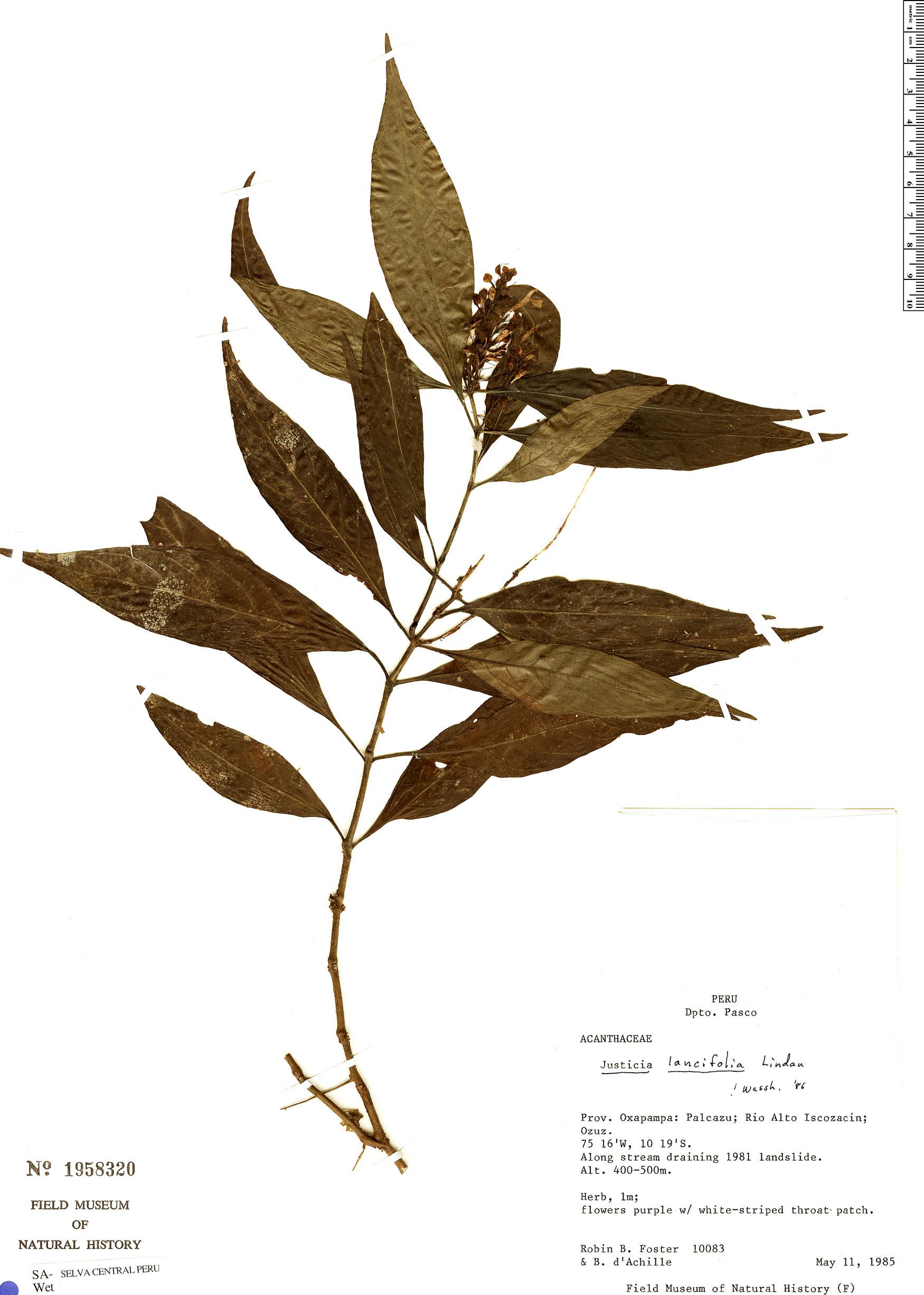 Specimen: Justicia lancifolia