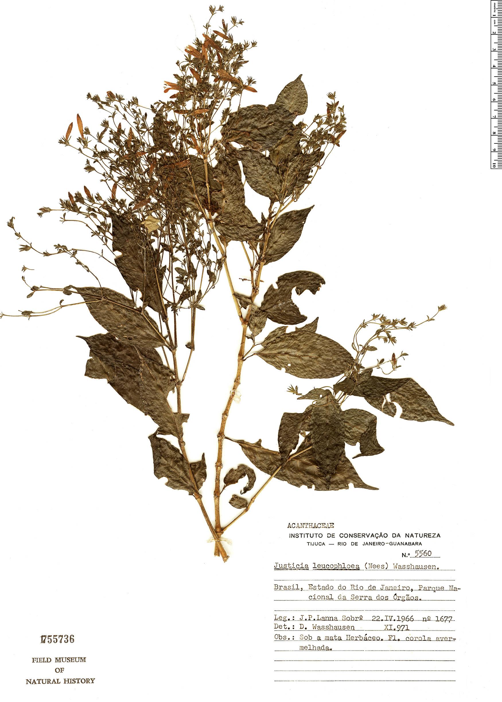 Specimen: Justicia leucophloea