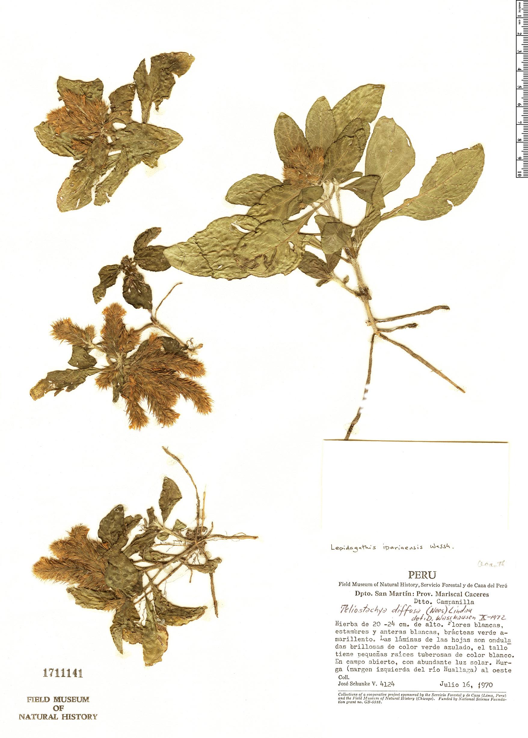 Specimen: Lepidagathis ipariaensis