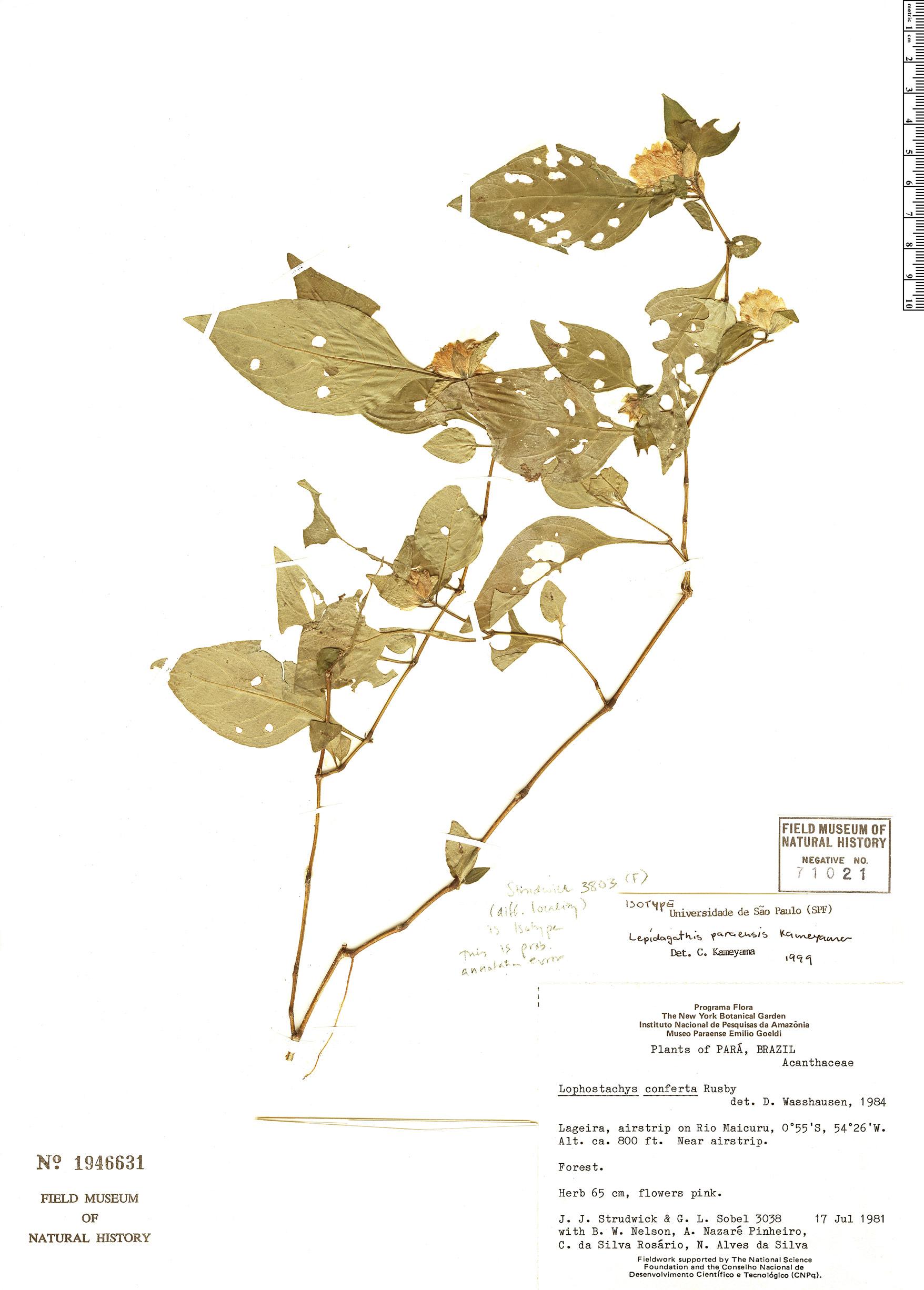 Specimen: Lepidagathis paraensis