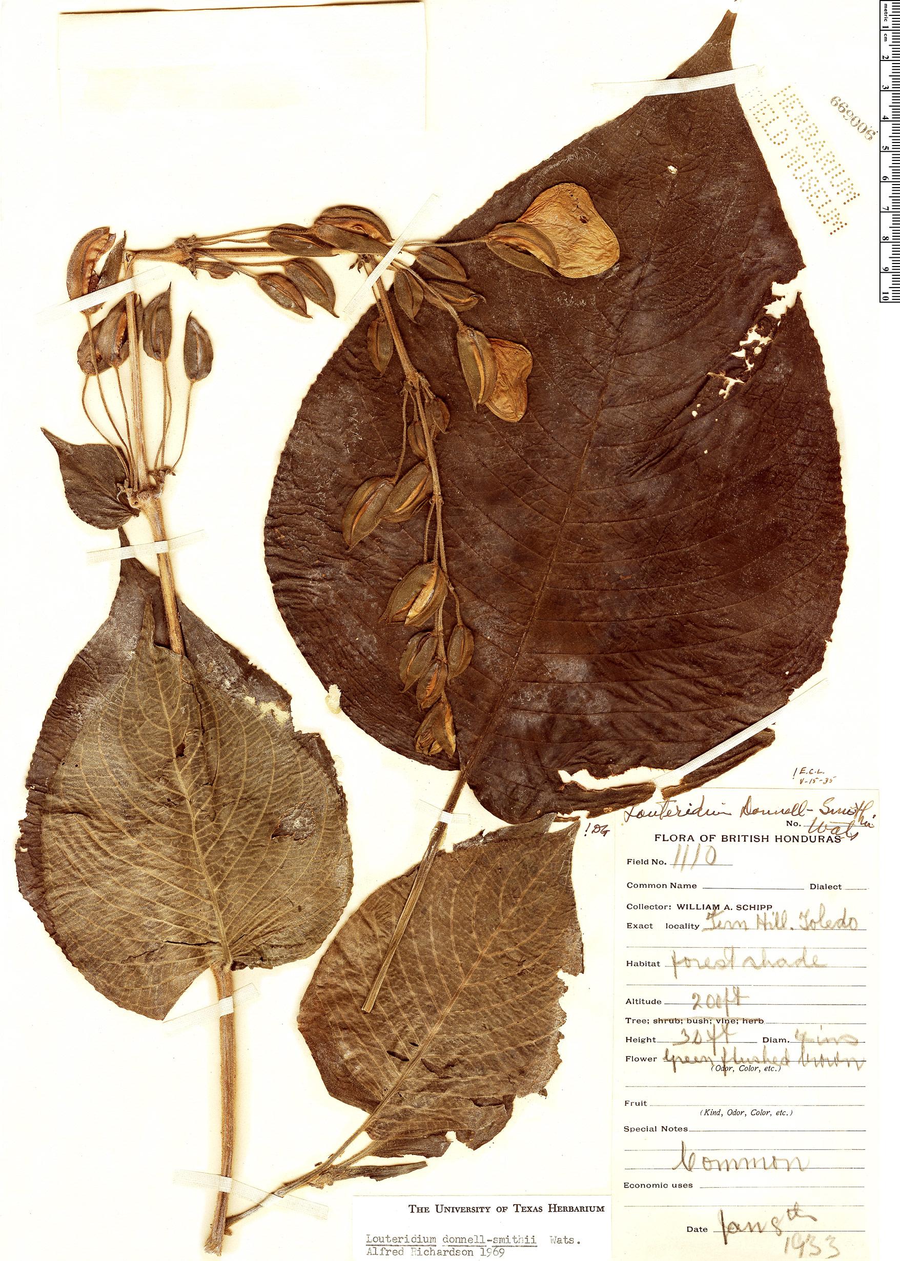 Specimen: Louteridium donnell-smithii