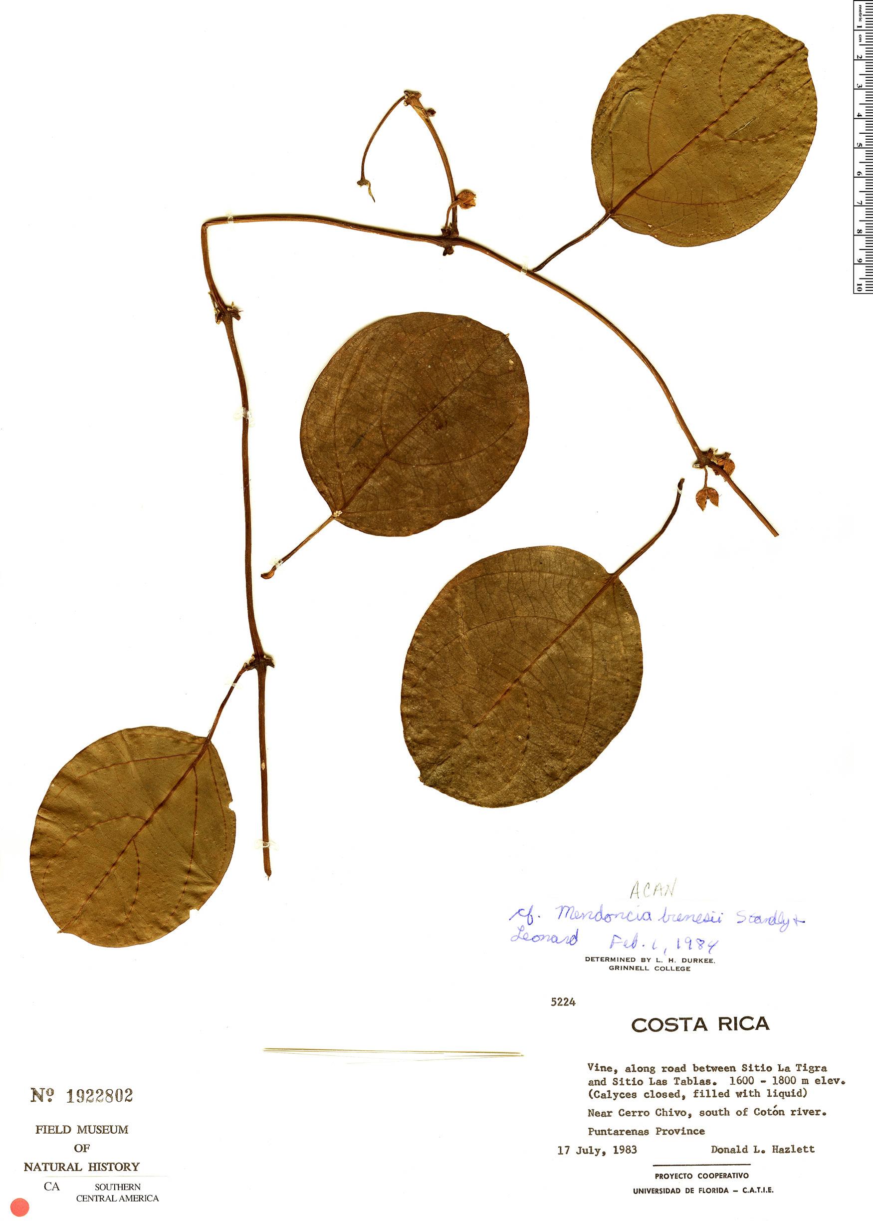 Specimen: Mendoncia brenesii