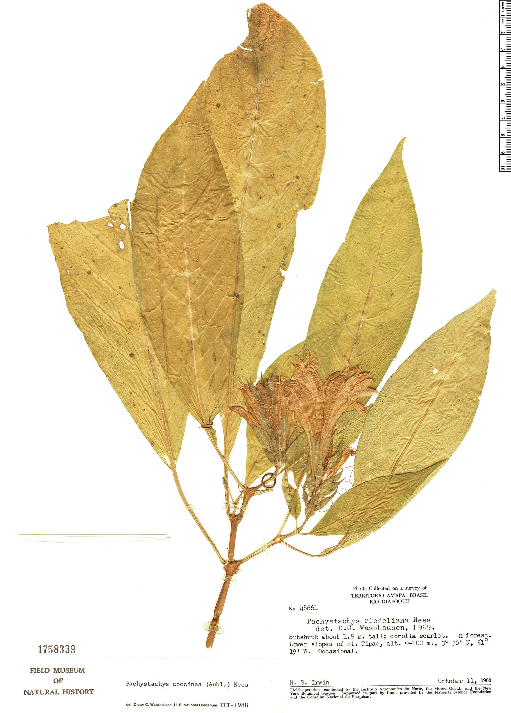 Specimen: Pachystachys coccinea