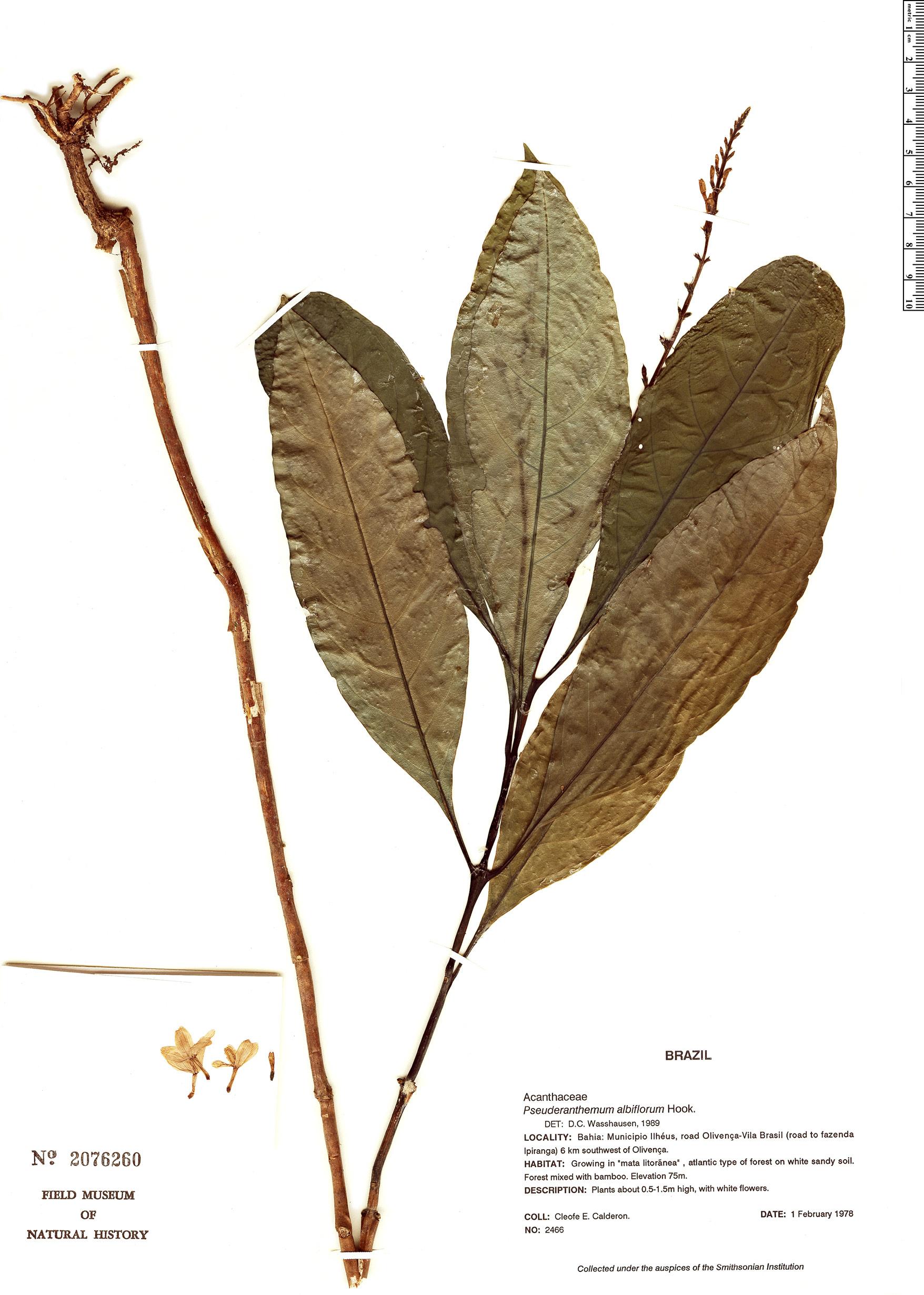 Specimen: Pseuderanthemum albiflorum